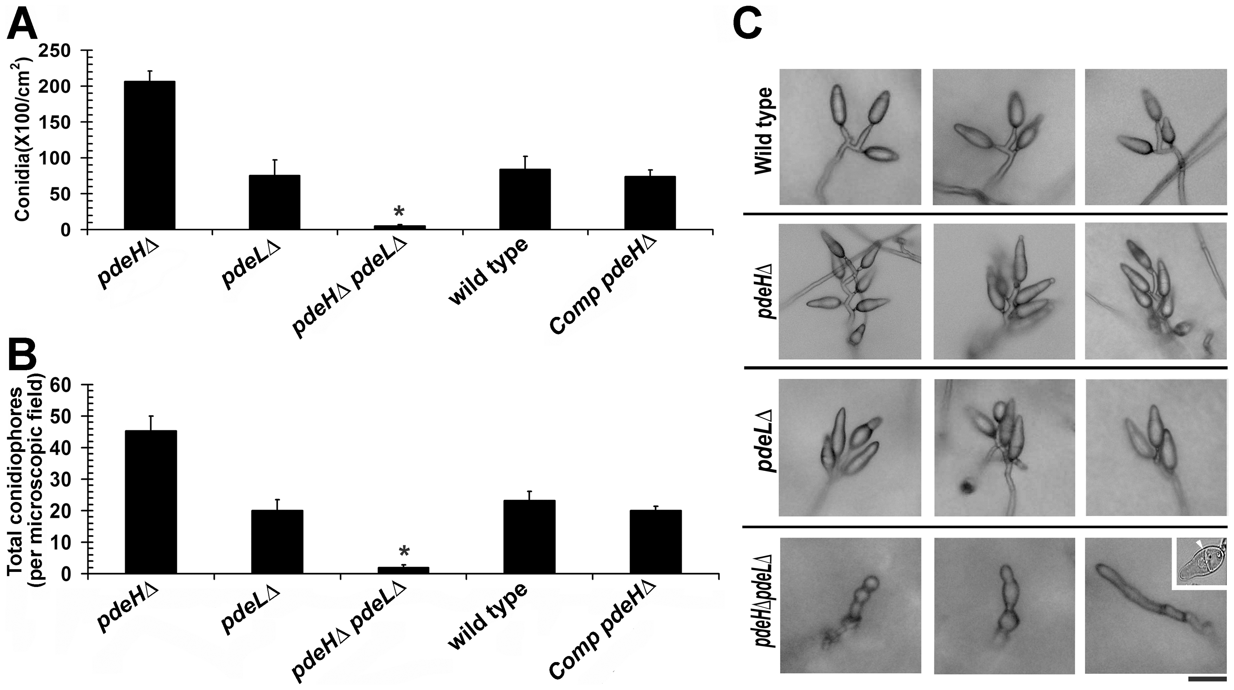 PdeH function regulates asexual development in <i>M. oryzae</i>.