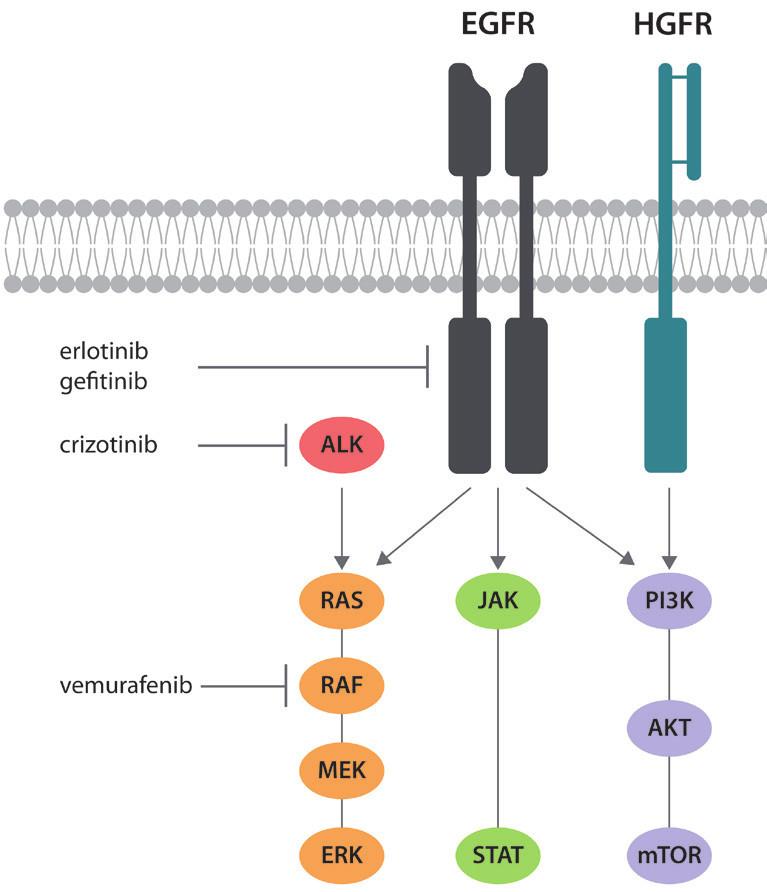 Zjednodušené schéma signalizace EGFR a působení v současnosti užívaných inhibitorů tyrosinkináz. Zobrazena je rovněž signalizace HGFR (MET), která je podkladem sekundární rezistence k léčbě inhibitory tyrosinkináz.