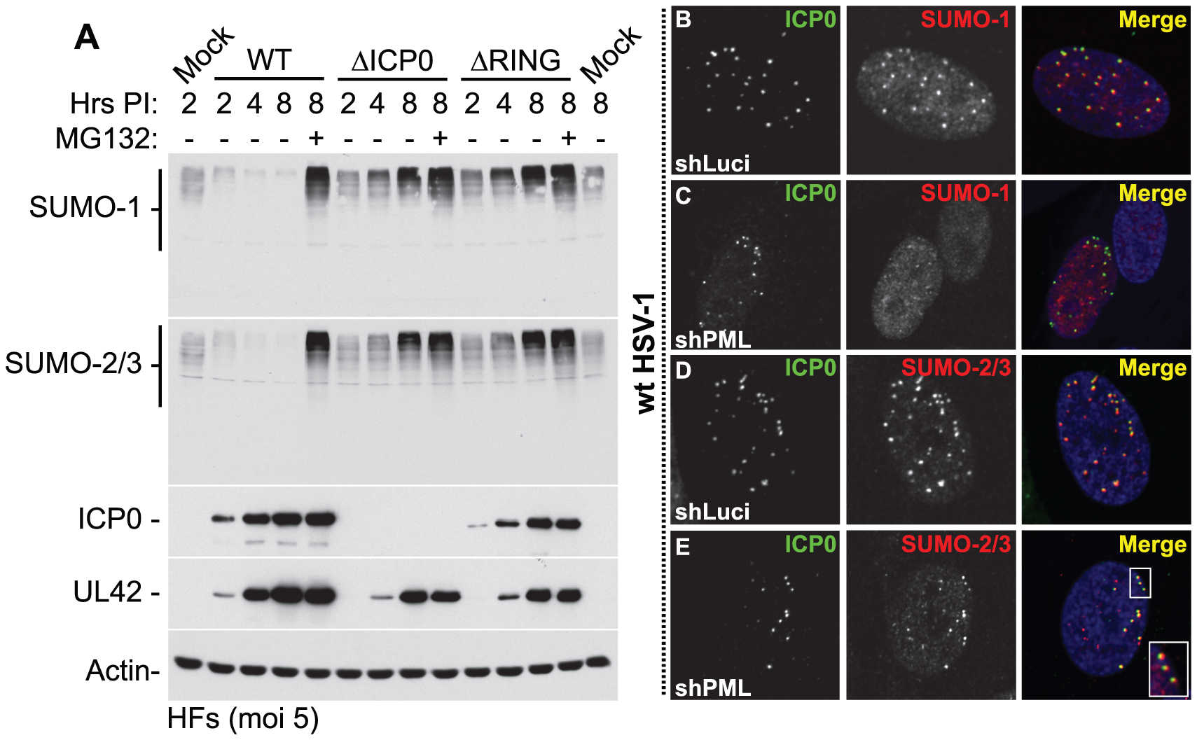 ICP0 localizes to and induces the degradation of SUMO-1 and SUMO-2/3 conjugates during infection in a RING finger- and proteasome-dependent manner.