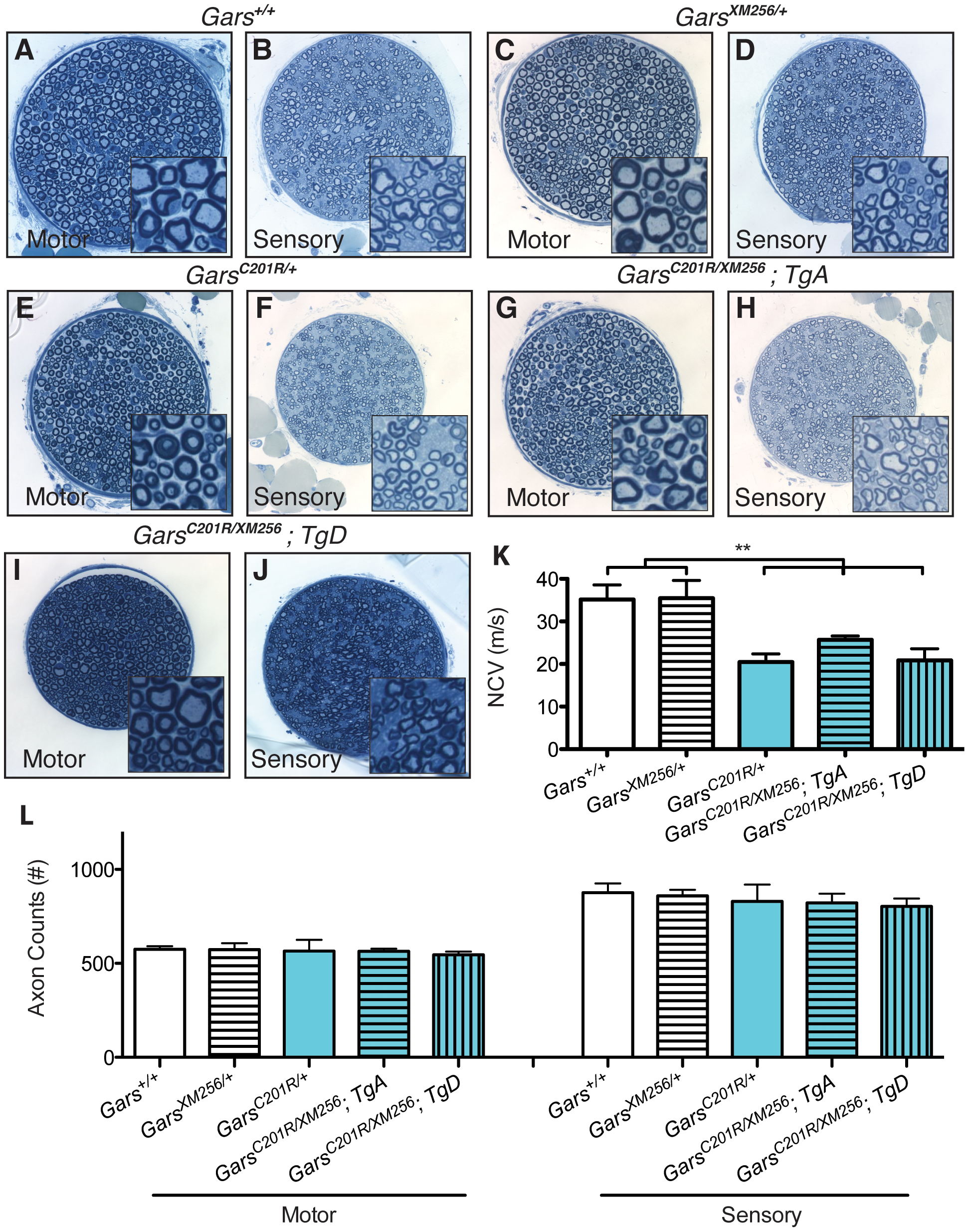 Transgenes A and D restore viability to <i>C201R/XM256</i> mice.