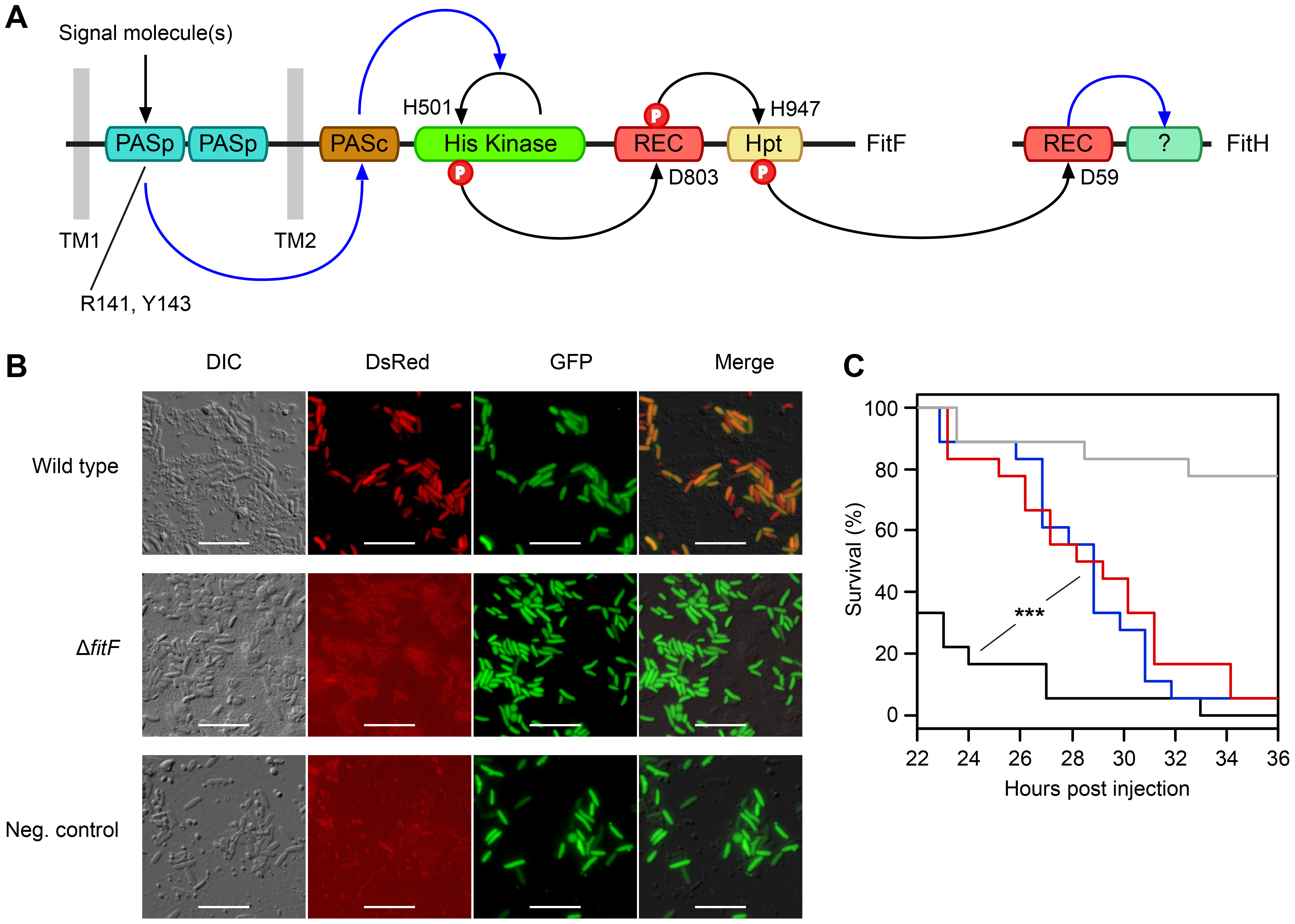 The hybrid sensor kinase FitF is essential for Fit toxin expression.