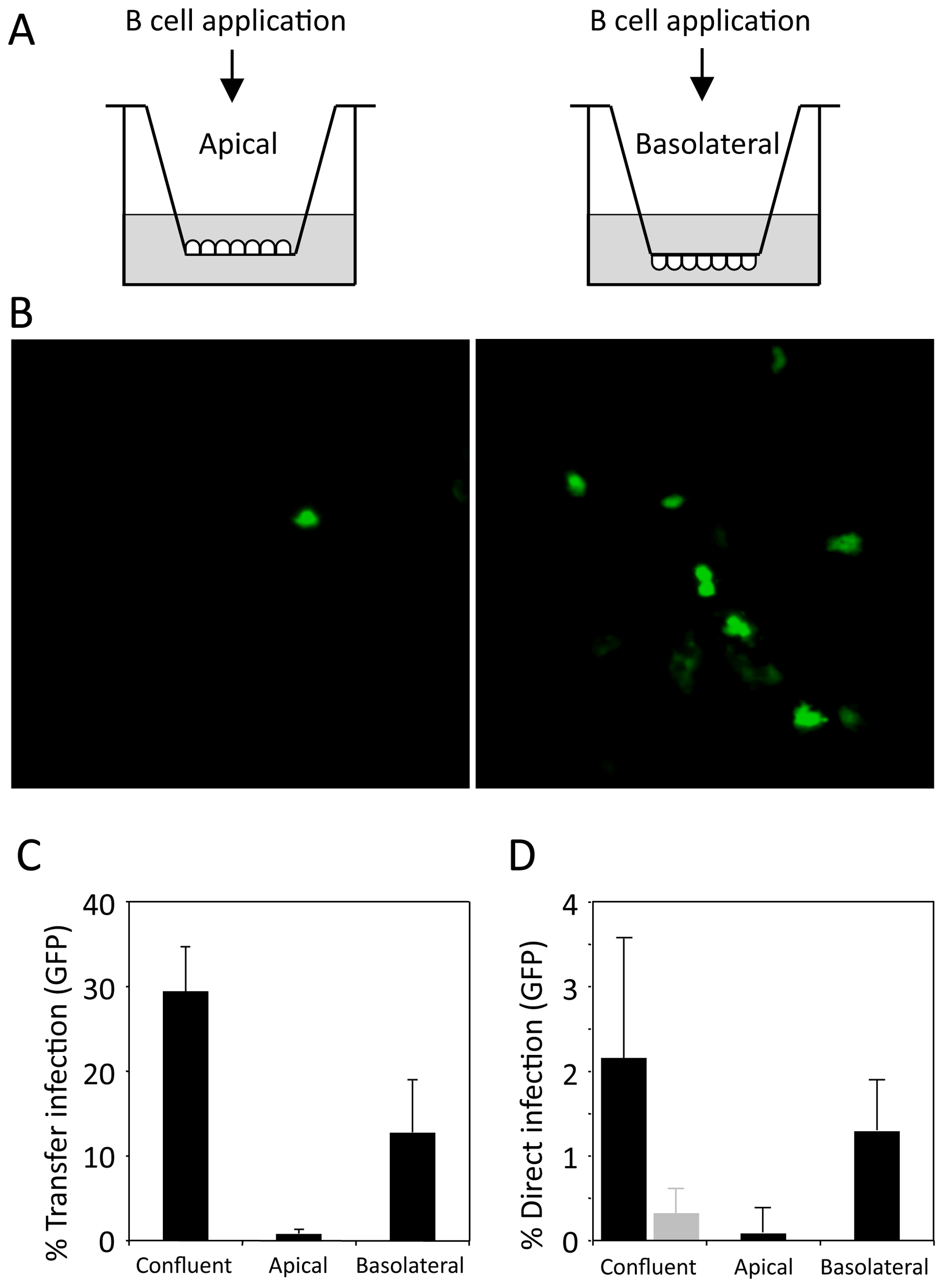 Transfer infection of polarised epithelial cells.