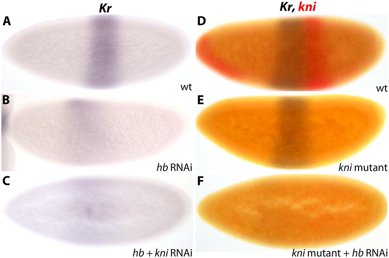<i>Kr</i> is activated by maternal Hb in <i>D</i>. <i>melanogaster</i>.