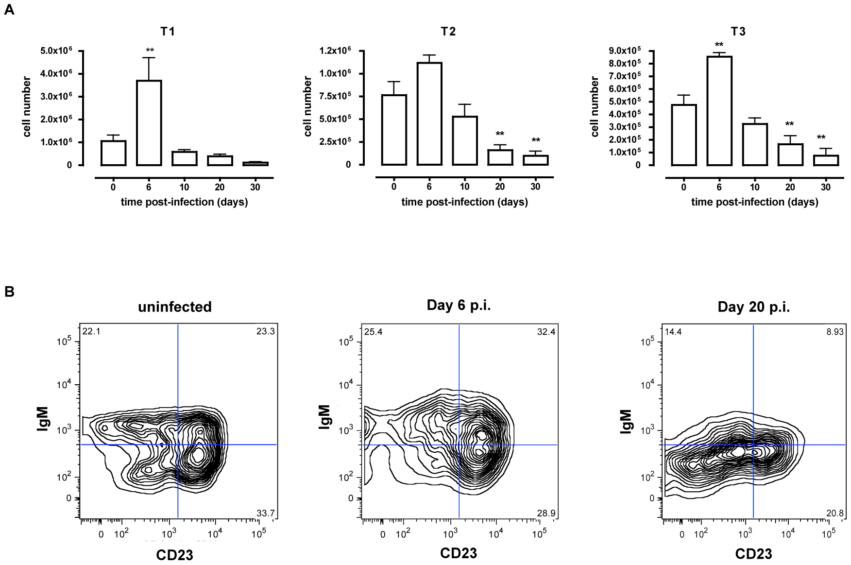 Depletion of transitional B cells in spleen during <i>T. brucei</i> infection.
