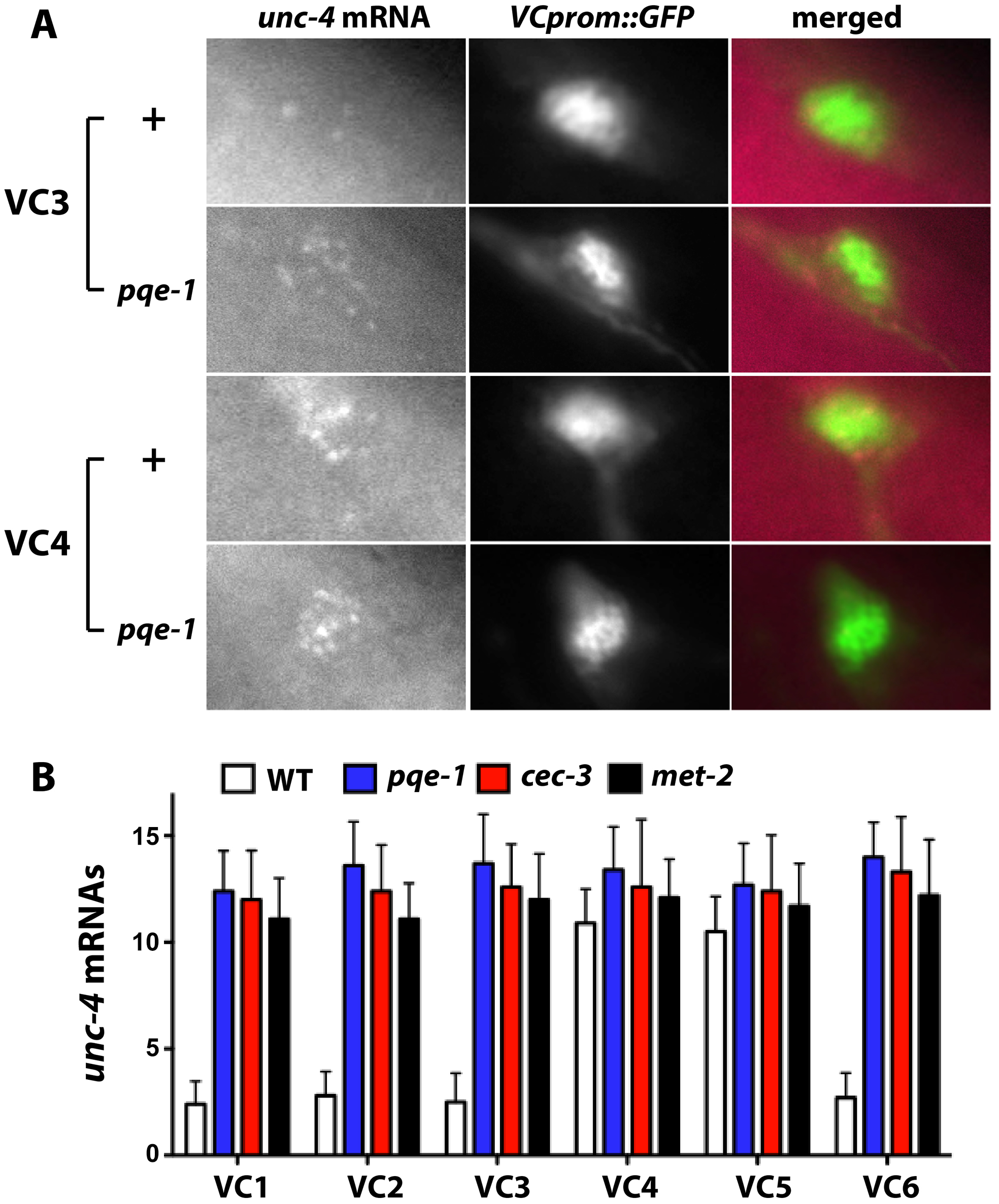 Endogenous <i>unc-4</i> transcripts accumulate in all six VC neurons in <i>pqe-1</i>, <i>cec-3</i>, and <i>met-2</i> mutants.