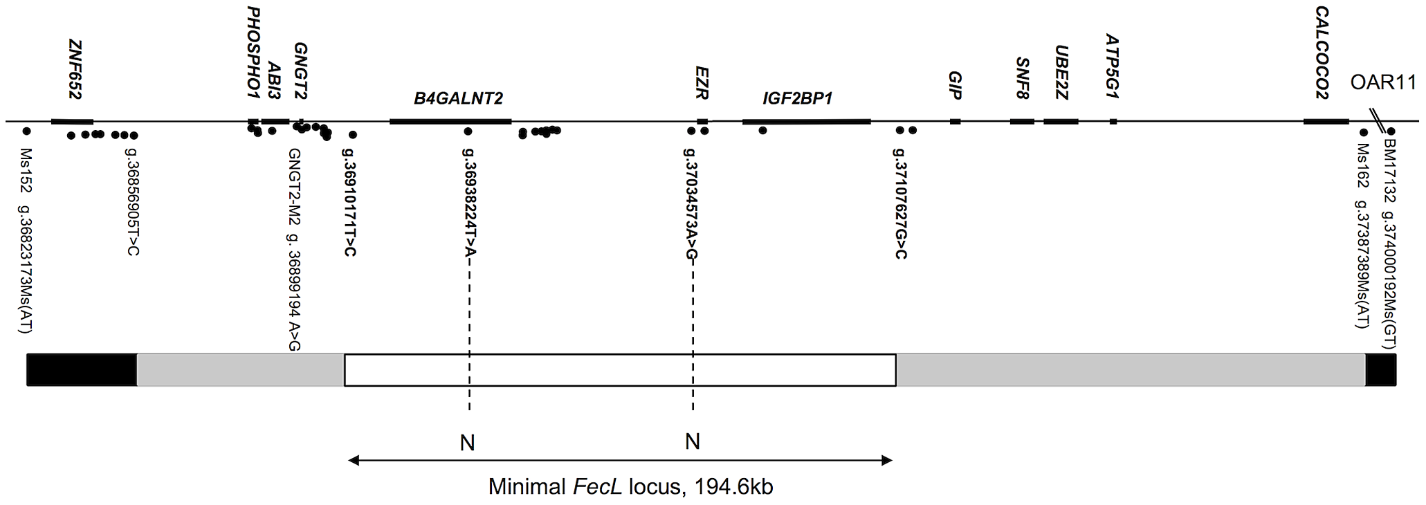 Map of the <i>FecL</i> locus on ovine chromosome 11.