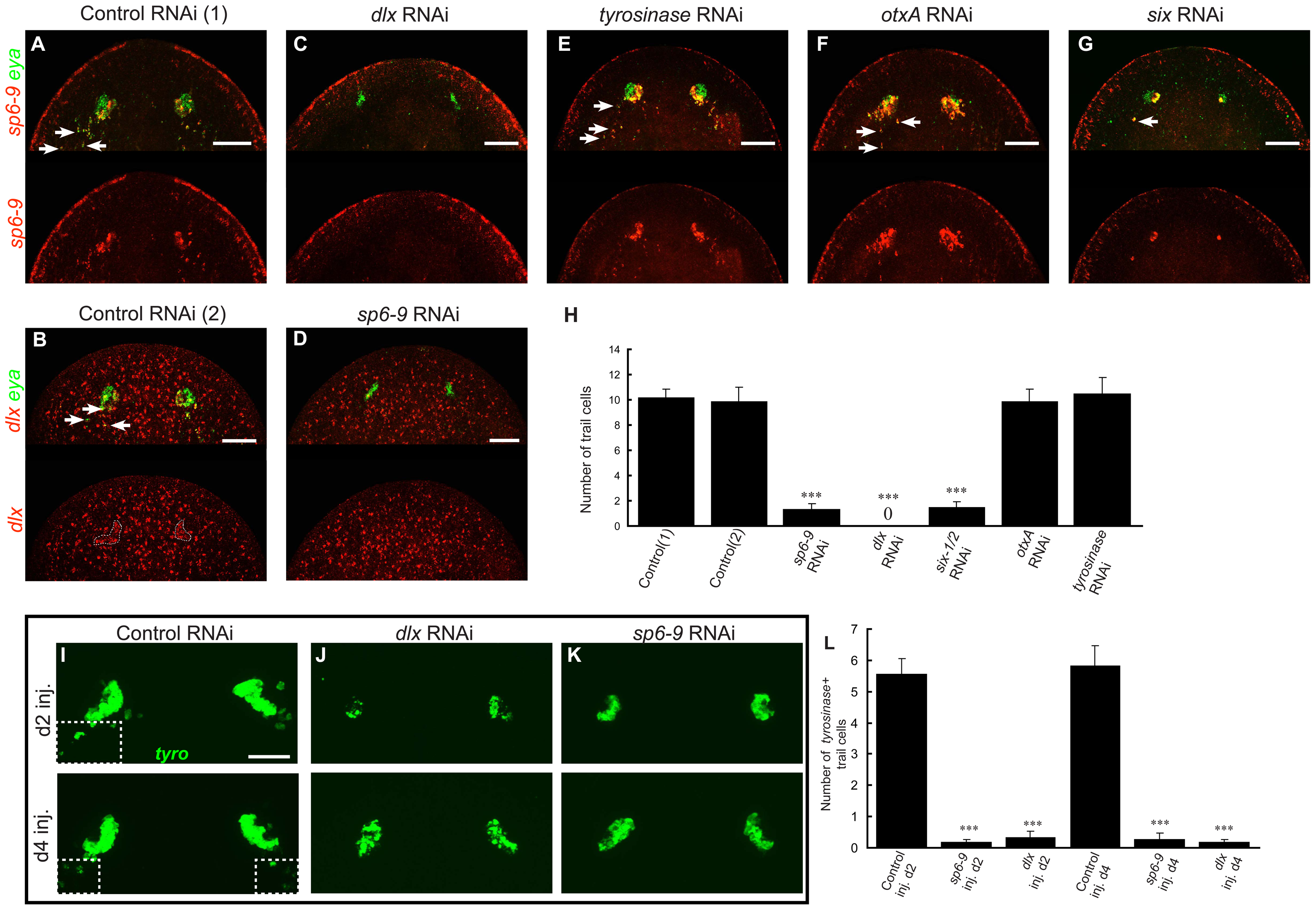 <i>dlx</i> and <i>sp6-9</i> are required for regenerative optic cup cells.