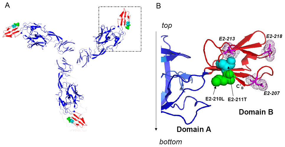 Atomic structure of the CHIKV E2 glycoprotein demonstrating positions in domain B involved in regulation of the alphavirus host range.