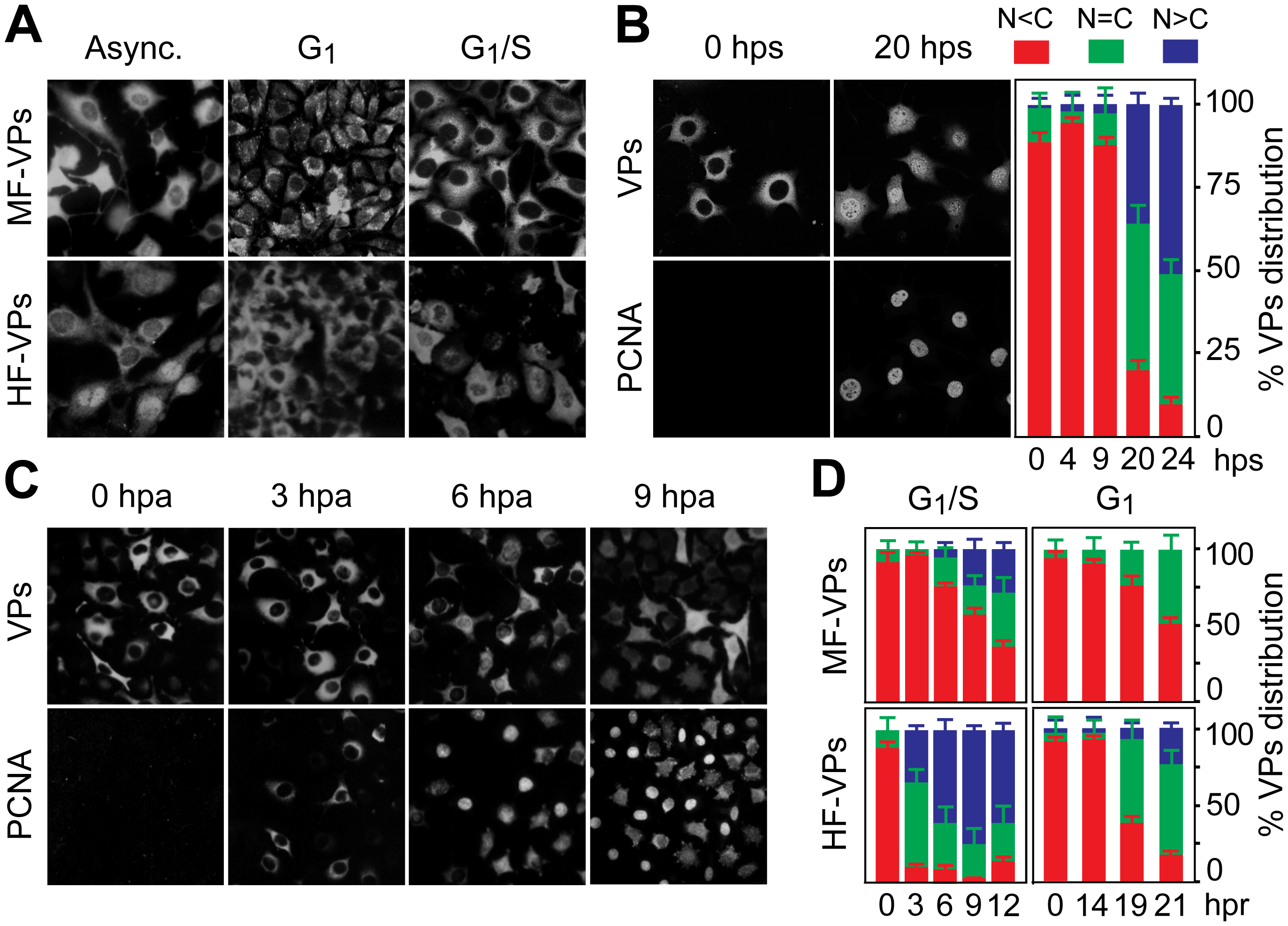 Cell cycle regulation of the nuclear translocation of MVM capsid proteins.