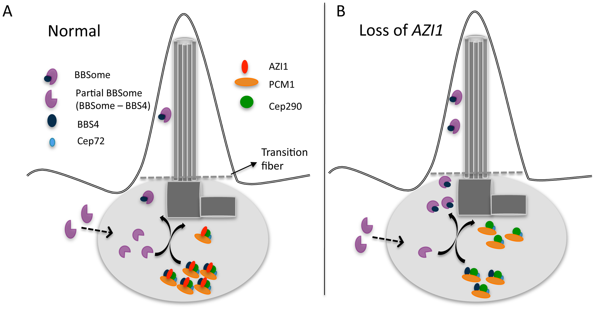 A model showing centrosomal complex of BBS4, BBSome complex formation, and its ciliary localization.