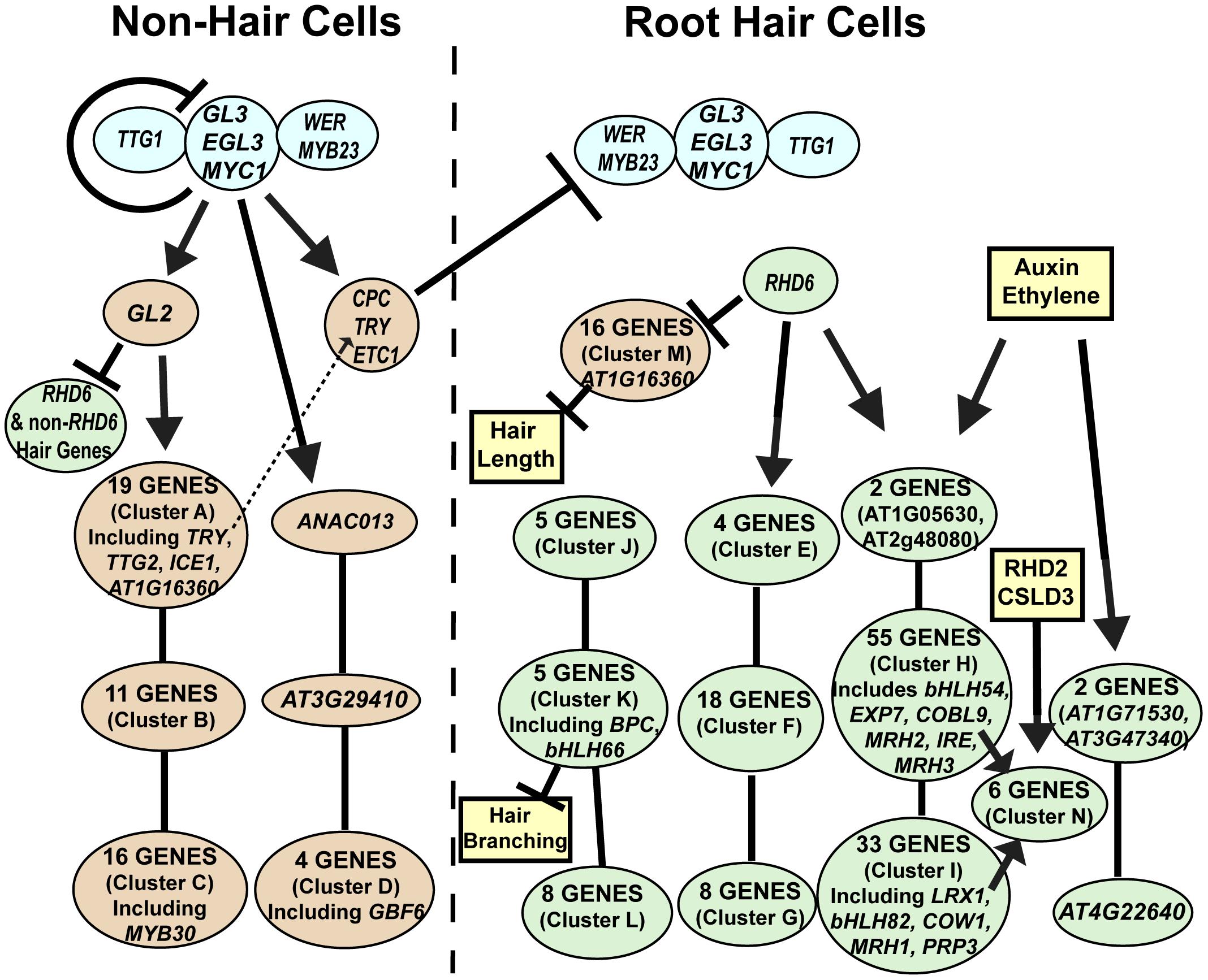 Model of the root epidermal gene network.
