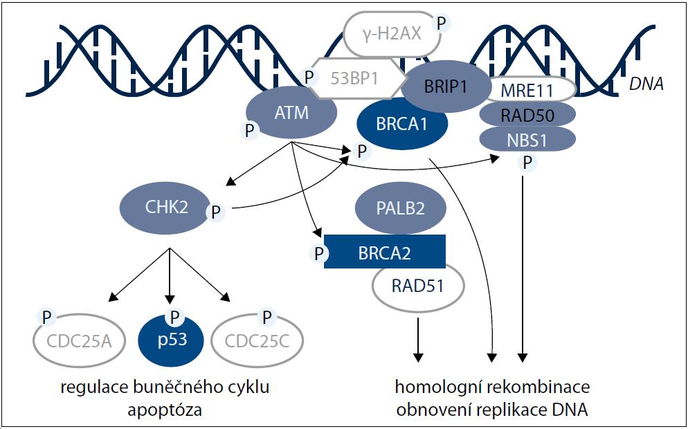 Schematické znázornění hlavních proteinů podílejících se na reparaci dvouřetězcových zlomů v DNA pomocí homologní rekombinace.