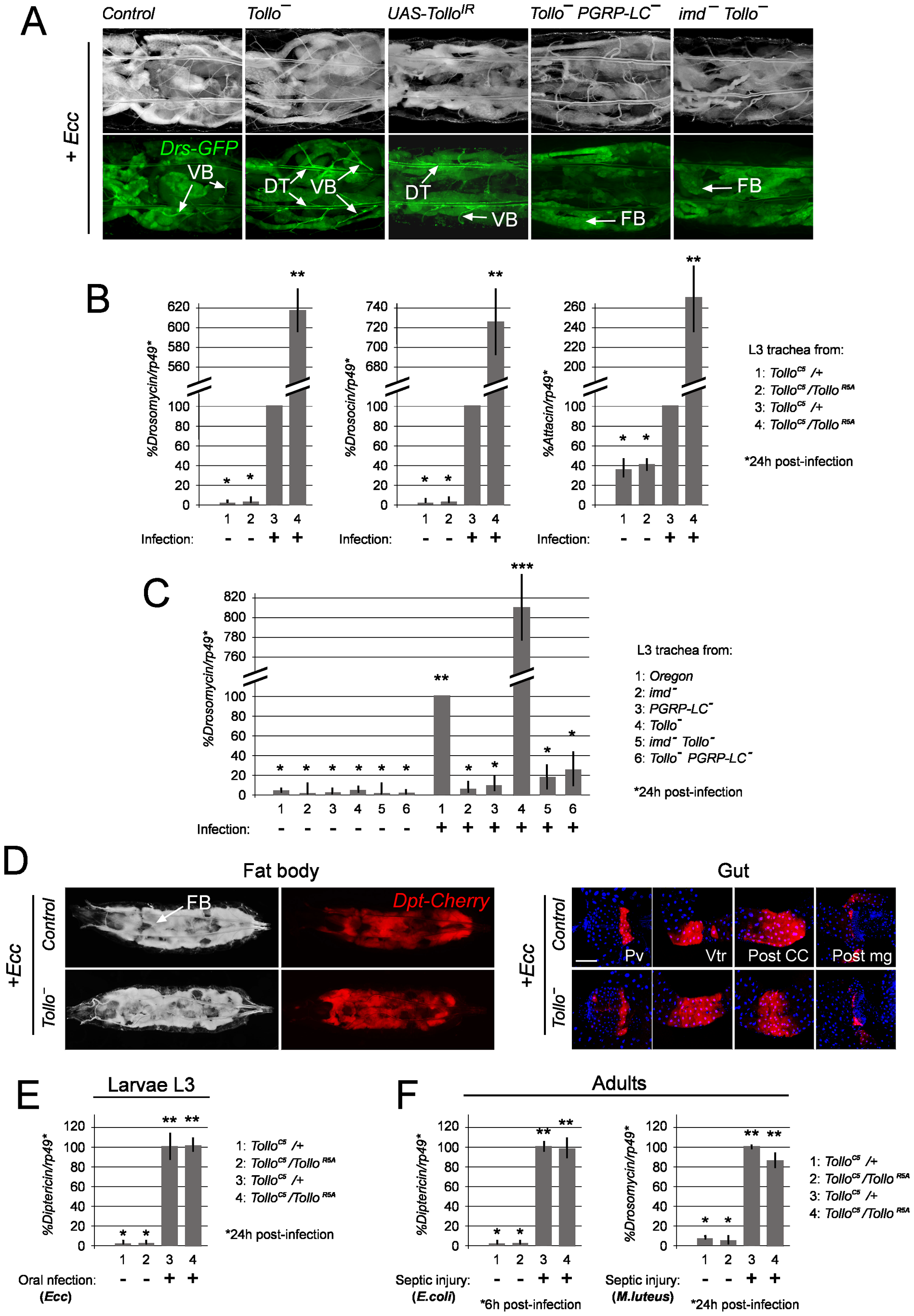 Negative regulation of tracheal immune response by Tollo.