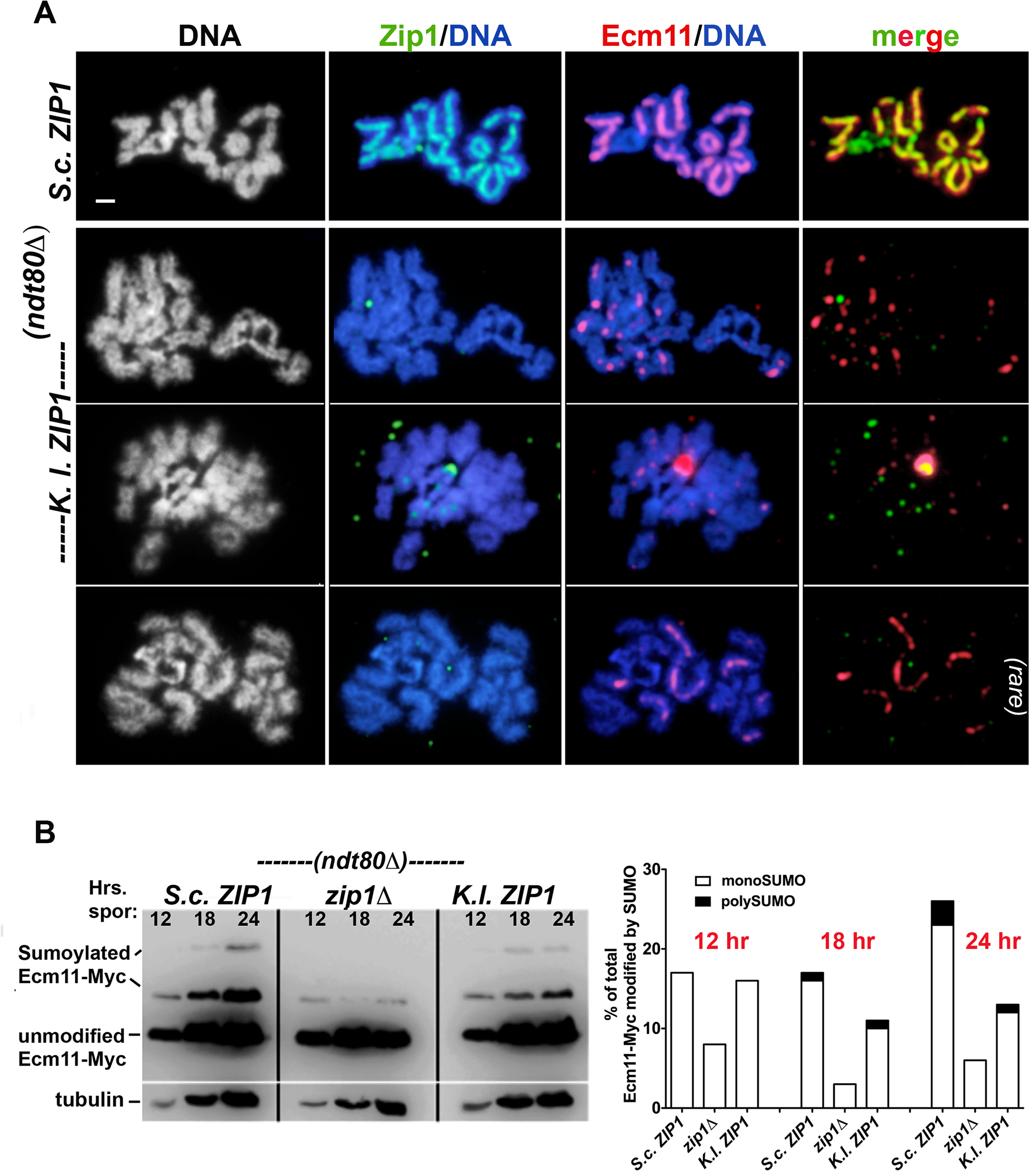 Ecm11-MYC predominantly assembles as foci on meiotic chromosomes and is partially SUMOylated in <i>S</i>. <i>cerevisiae</i> cells expressing <i>K</i>. <i>lactis ZIP1</i>.