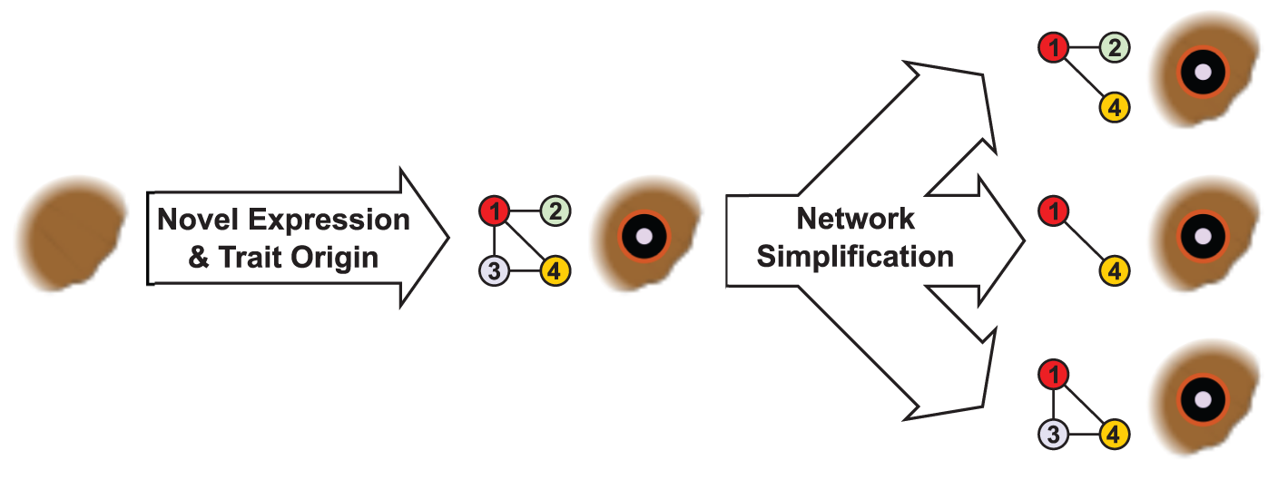 Regulatory network simplification in a complex trait.