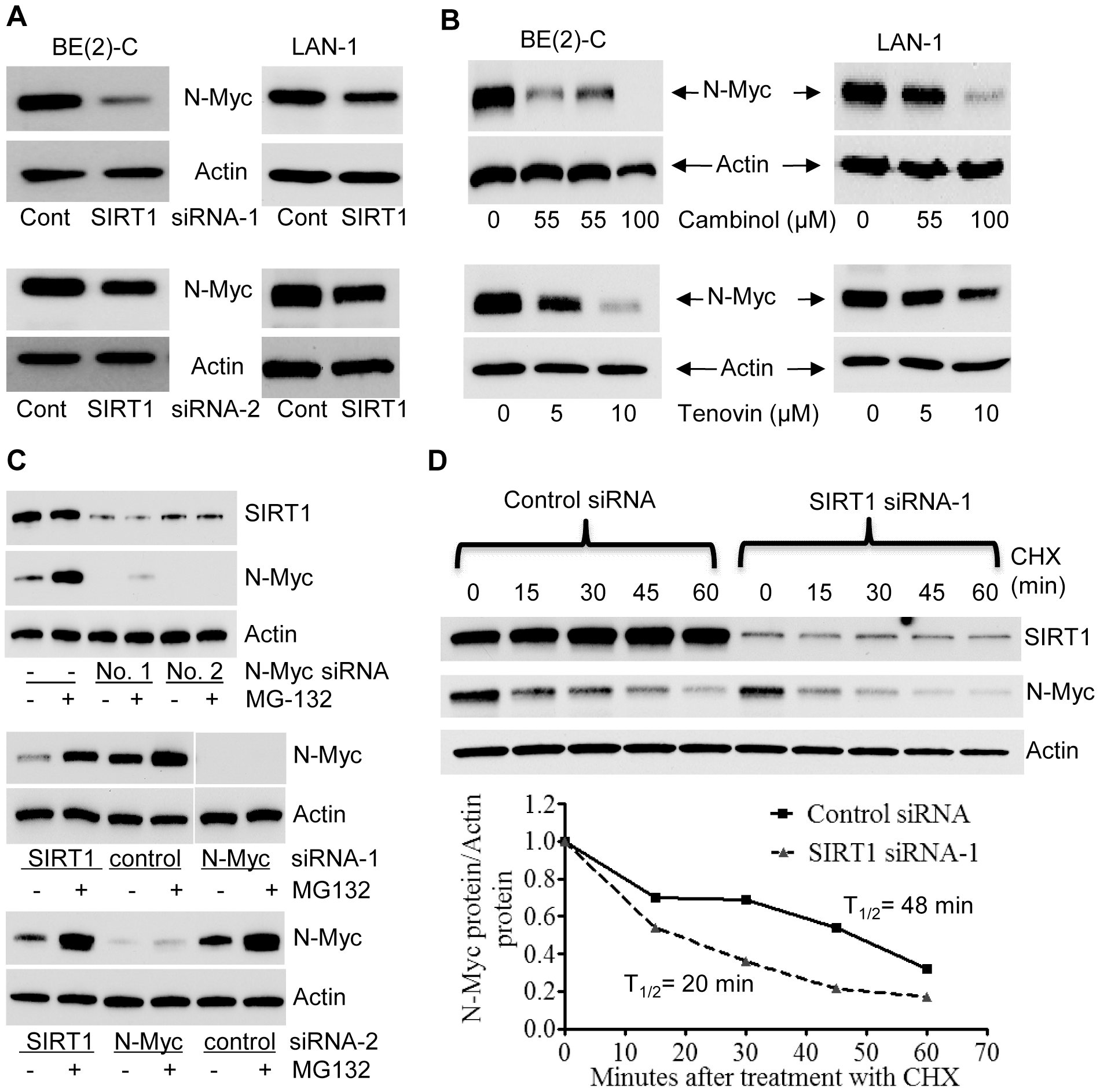 SIRT1 up-regulates N-Myc protein expression by blocking its degradation.