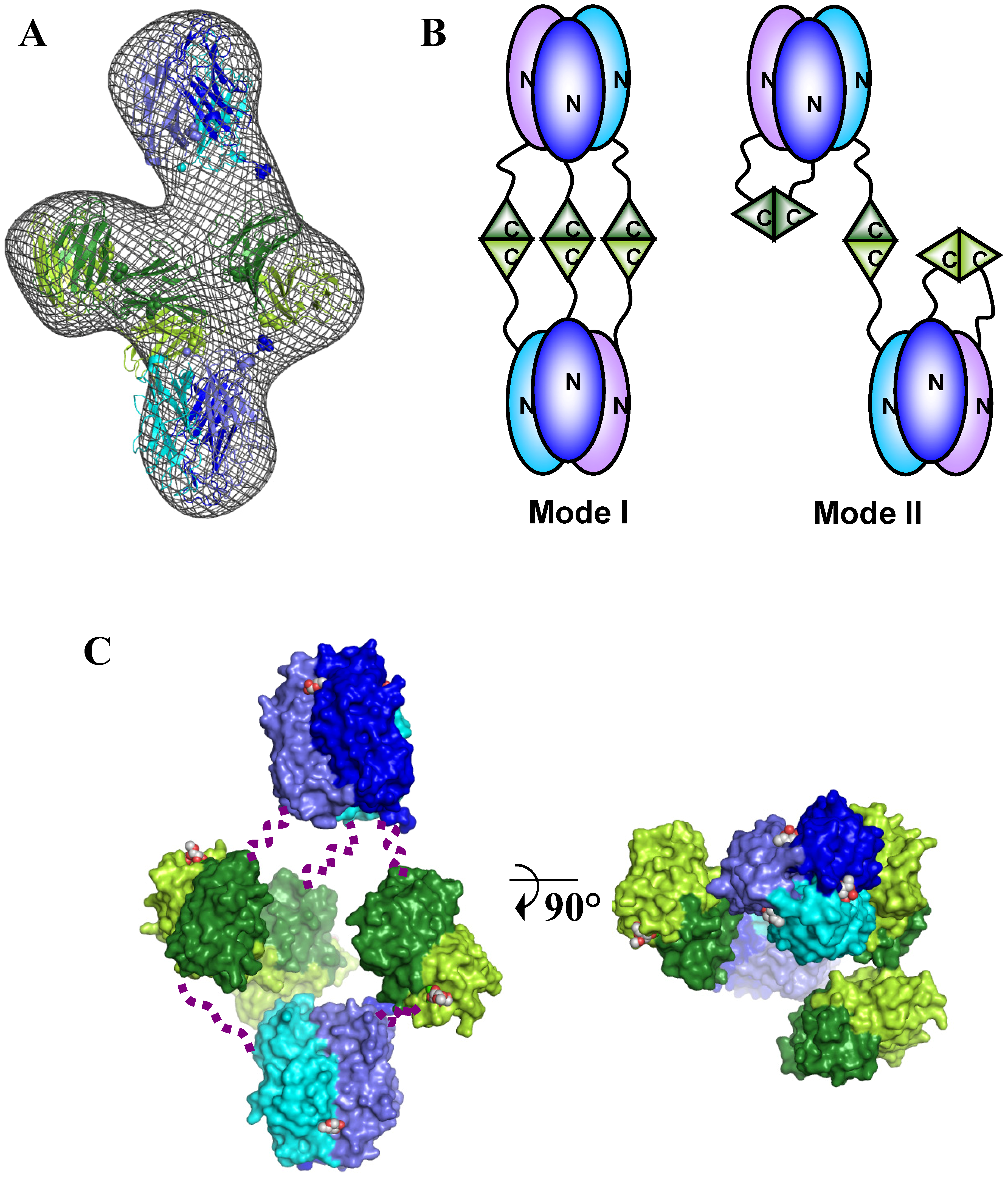 Models of the BC2L-C hexamer with N-terminal domains in blue and C-terminal domains in green.