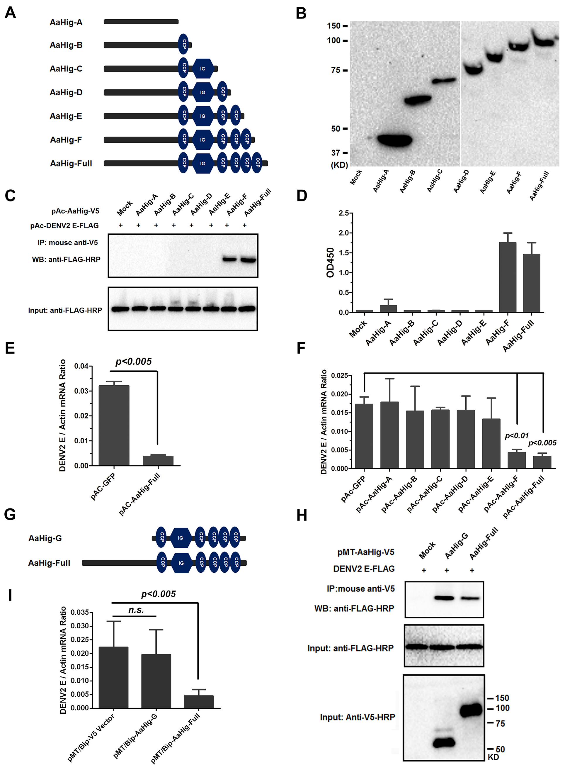 Both the viral interaction and membrane bound of AaHig are essential for the AaHig antiviral activity.