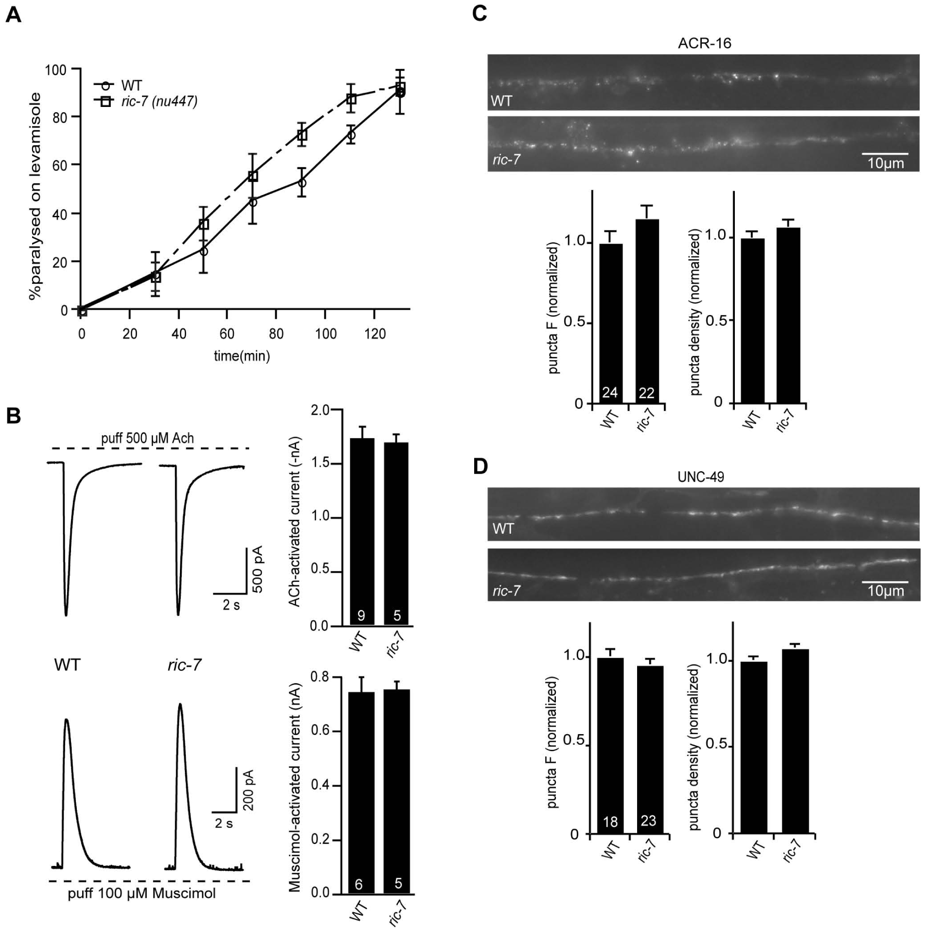 Body muscle responses to ACh and GABA are unaltered in <i>ric-7</i> mutants.