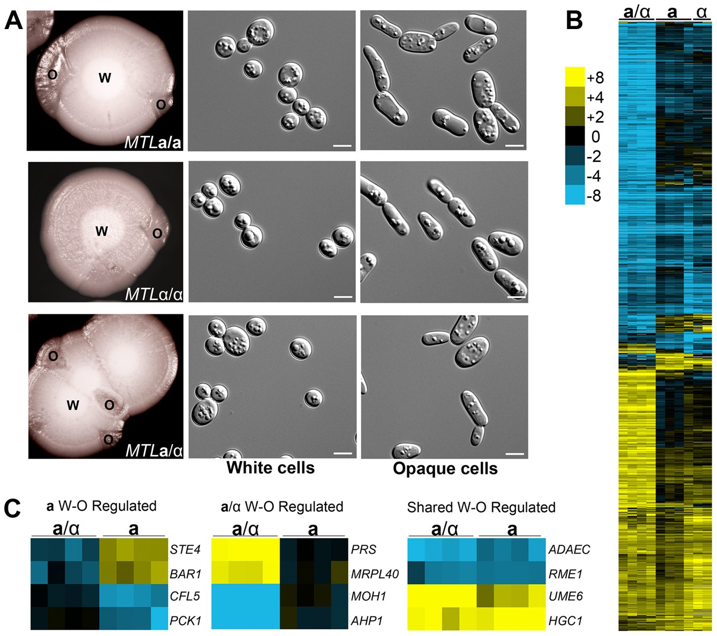 <i>C. tropicalis</i> a/α cells undergo a white-opaque phenotypic switch related to that in a and α cells.