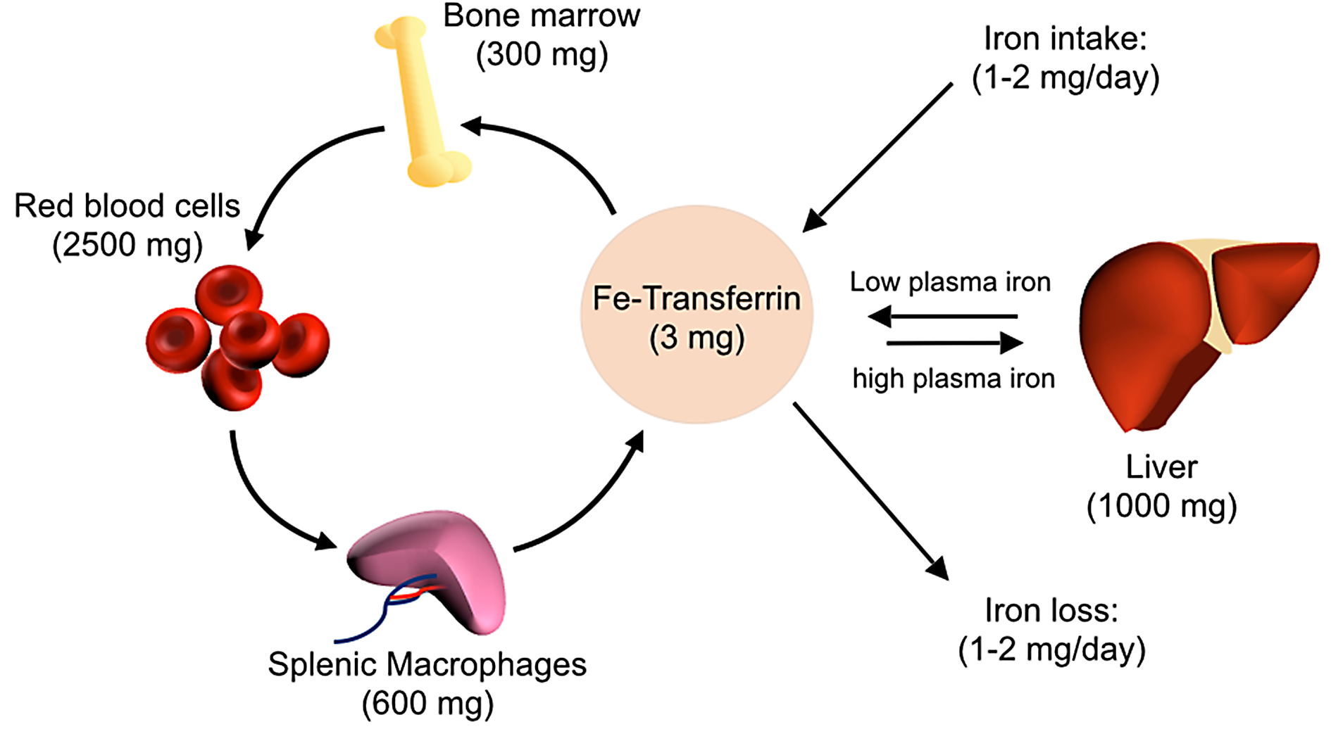 Overview of host iron homeostasis.