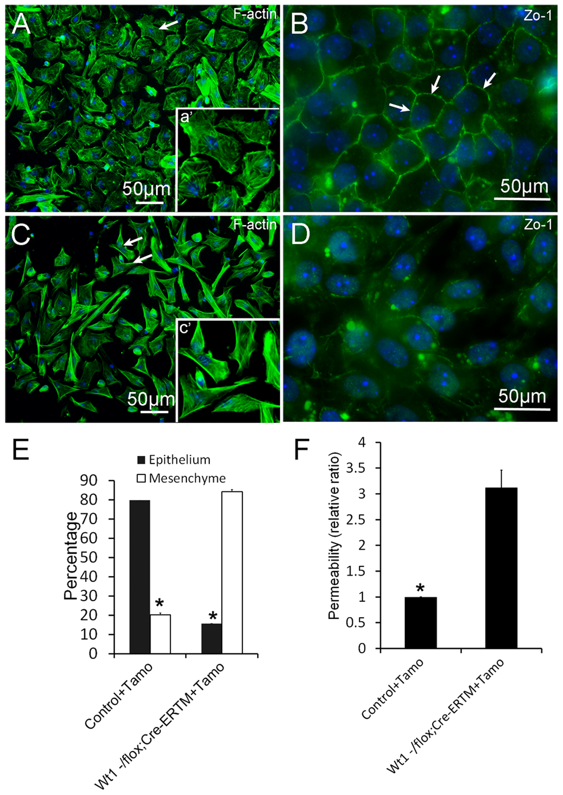 Deletion of <i>Wt1</i> causes morphologic changes and loss of tight junction formation in cultured SCs.