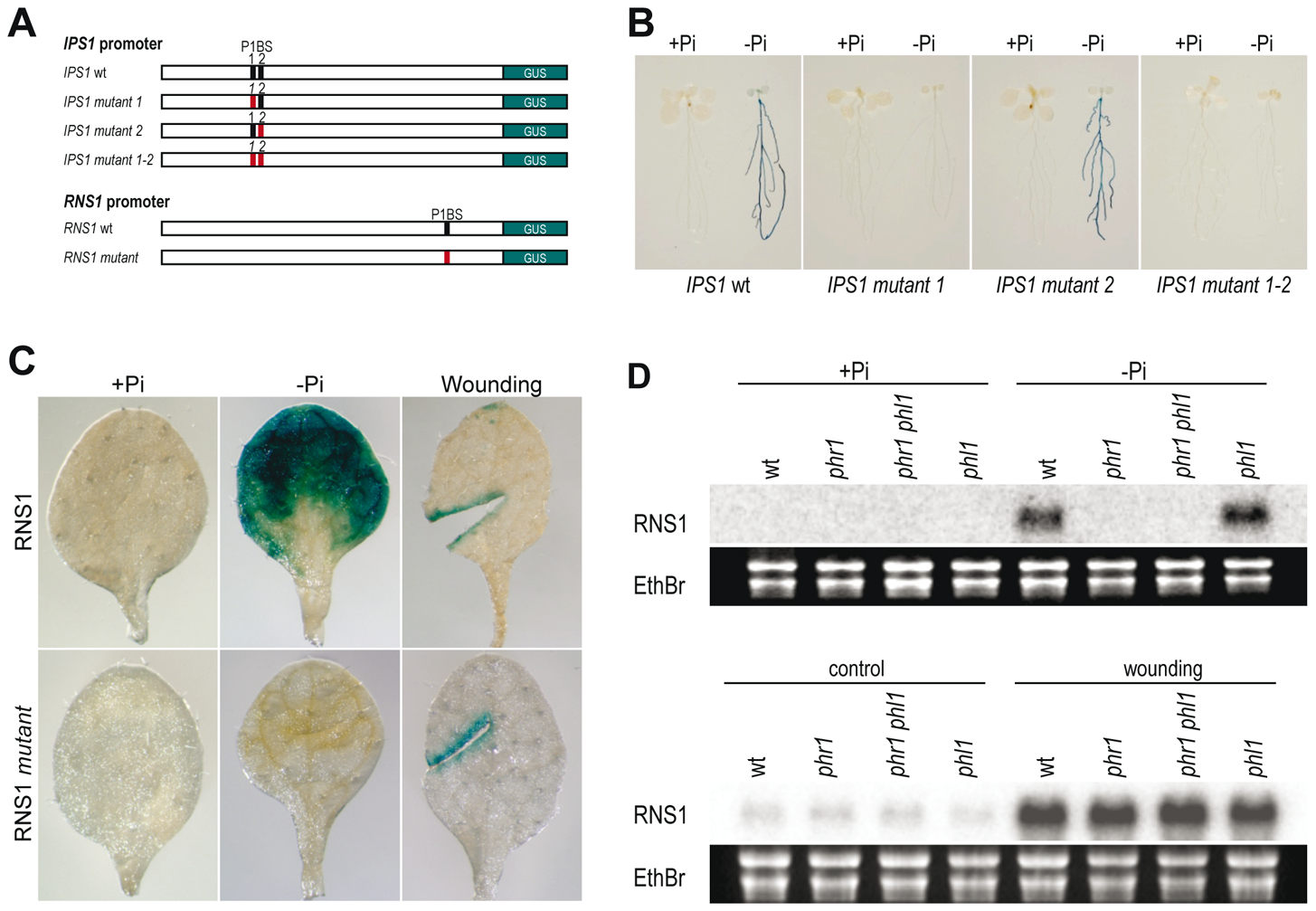 P1BS is a key <i>cis</i>-regulatory motif in Pi starvation responsiveness.