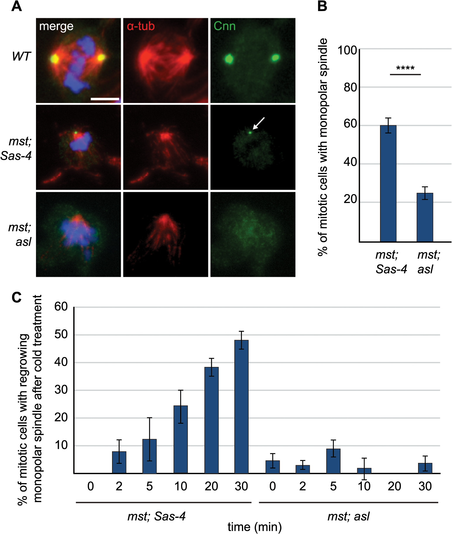 aMTOCs aid formation of monopolar spindles in acentriolar cells that also lack misato.
