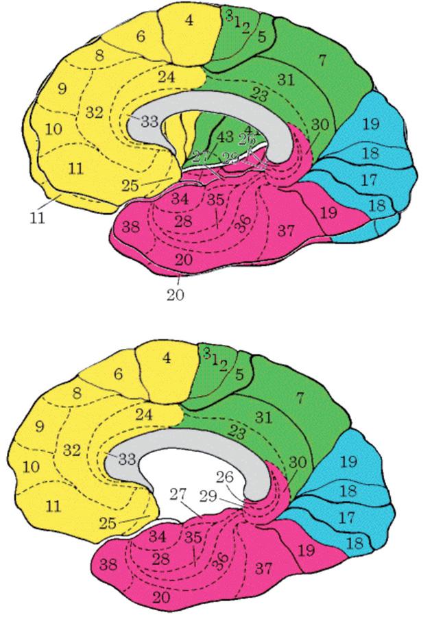 Brodmanova mapa cytoarchitektonických polí kůry lidského mozku, zevní plocha levé mozkové hemisféry, vnitřní plocha pravé mozkové hemisféry. Mapa je užitečná fikce, jednotlivá pole jsou u různých lidí plošně i objemově odlišná, jejich hranice jsou s výjimkou primárních senzorických polí méně ostré.