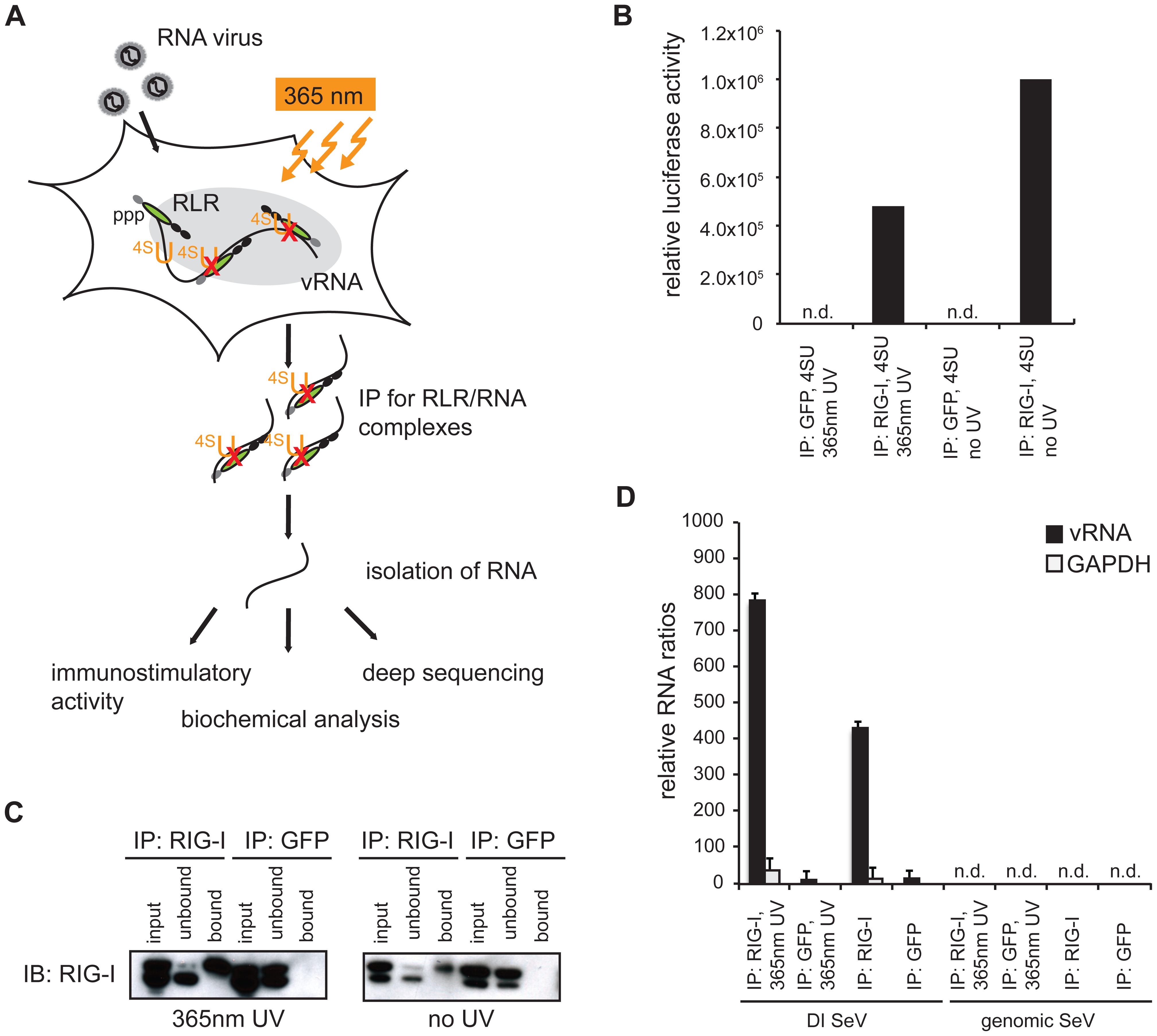 Validation of crosslinking and immunoprecipitation of RLR/RNA complexes from 24 h virus-infected cells.