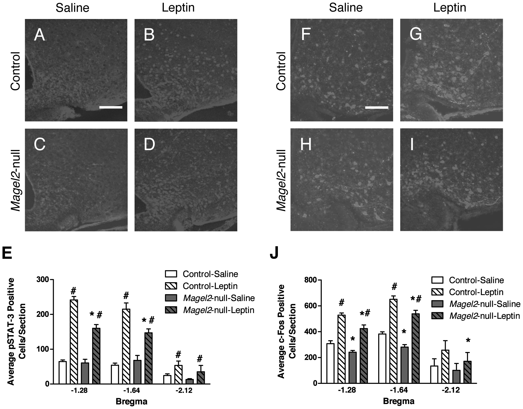 pSTAT3 and c-fos expression in ARC neurons in leptin-treated mice.