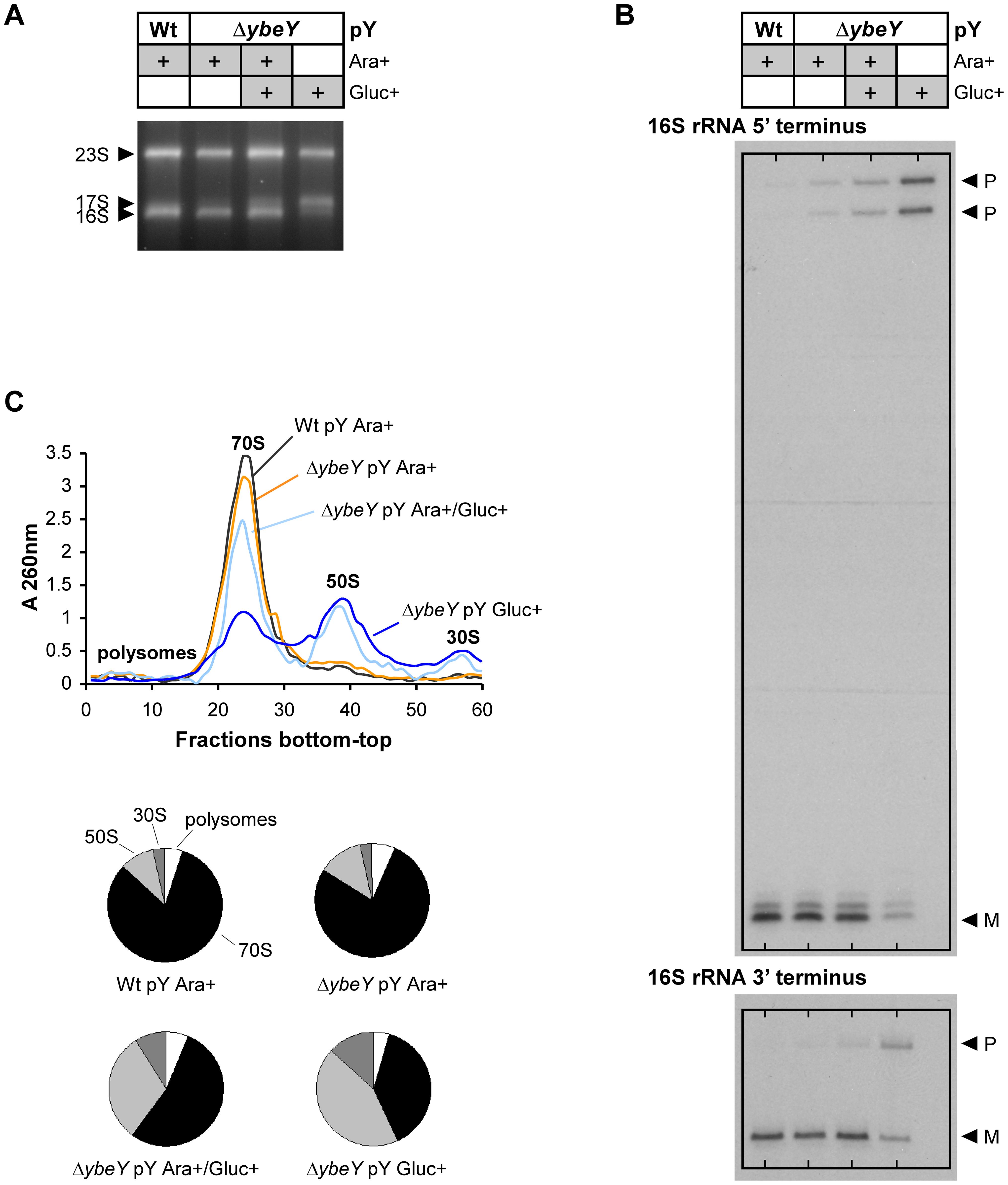 Analysis of rRNA and ribosome profiles in <i>V. cholerae</i> Δ<i>ybeY</i>.
