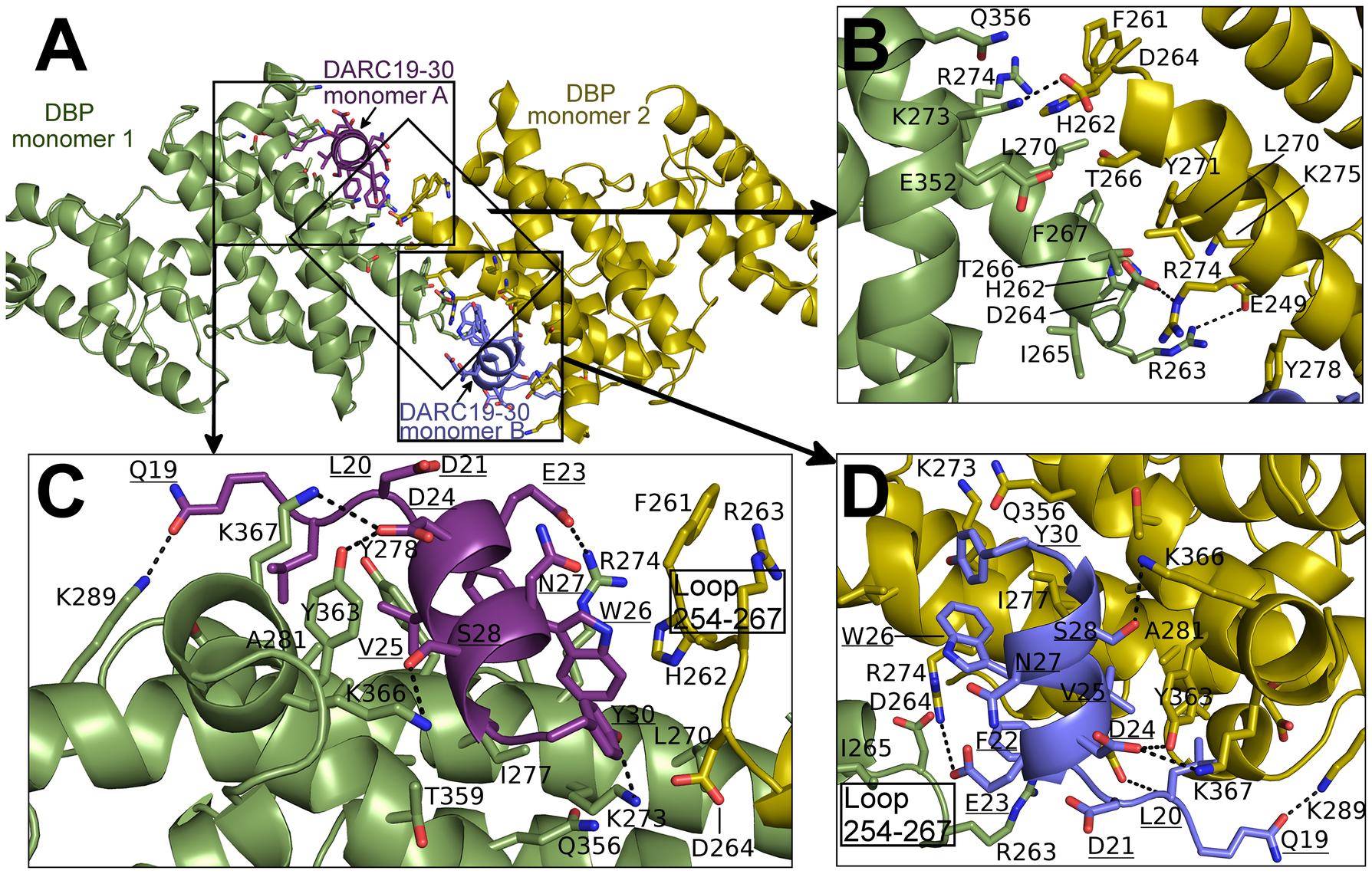 Binding interfaces of the DBP-RII∶DARC heterotetramer.