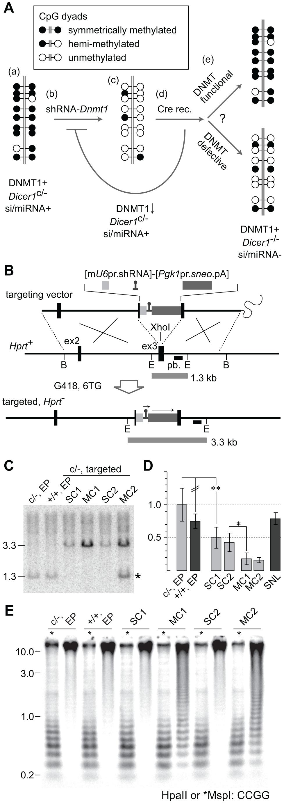 Experimental strategy to test rebound DNA methylation after <i>Dicer1</i> ablation.