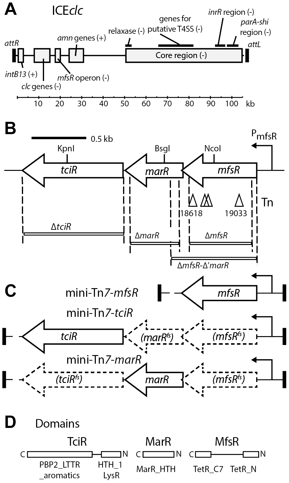 Schematic overview of ICE<i>clc</i> and the location of the genes relevant to this study.