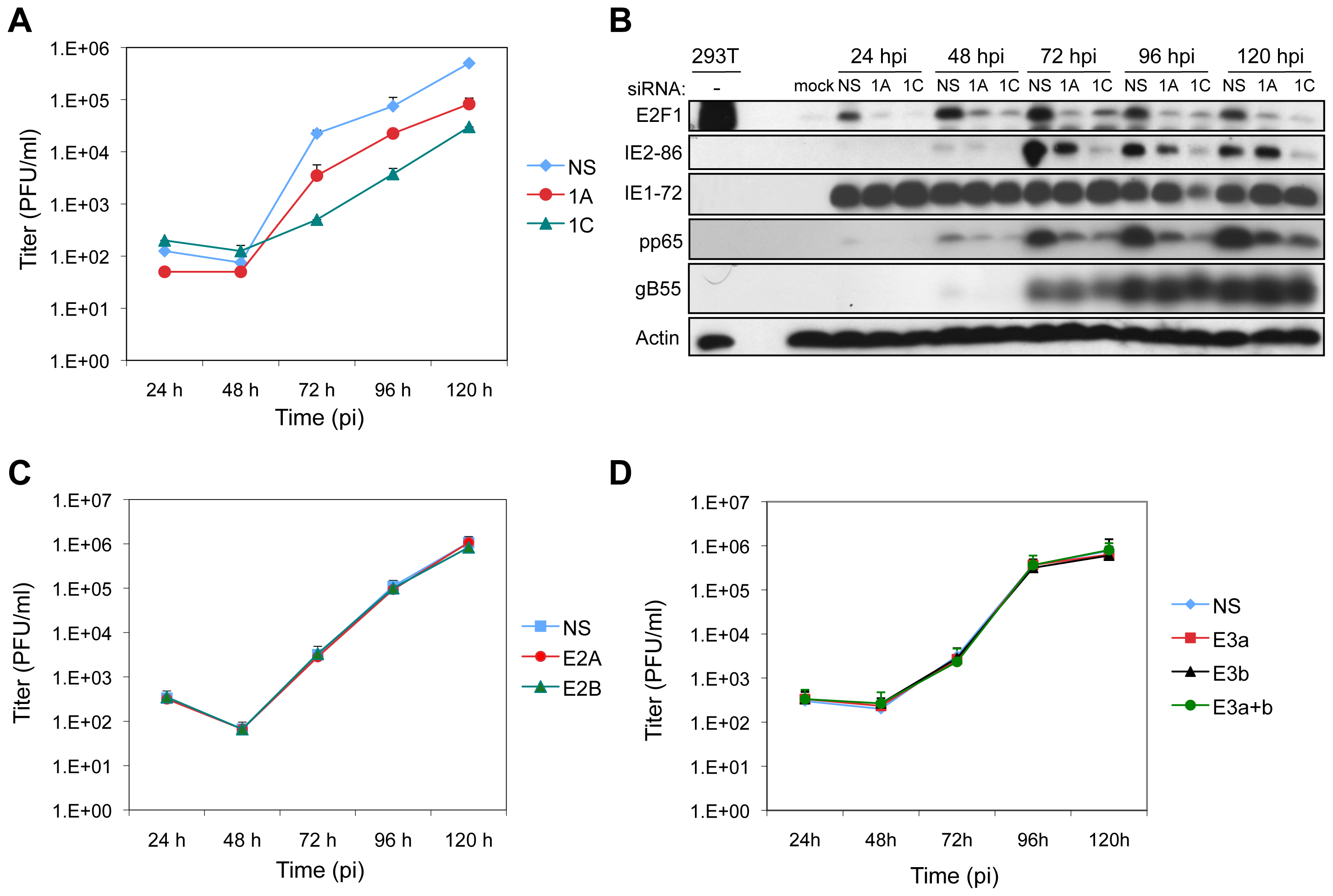 E2F1 is required for efficient virus replication.