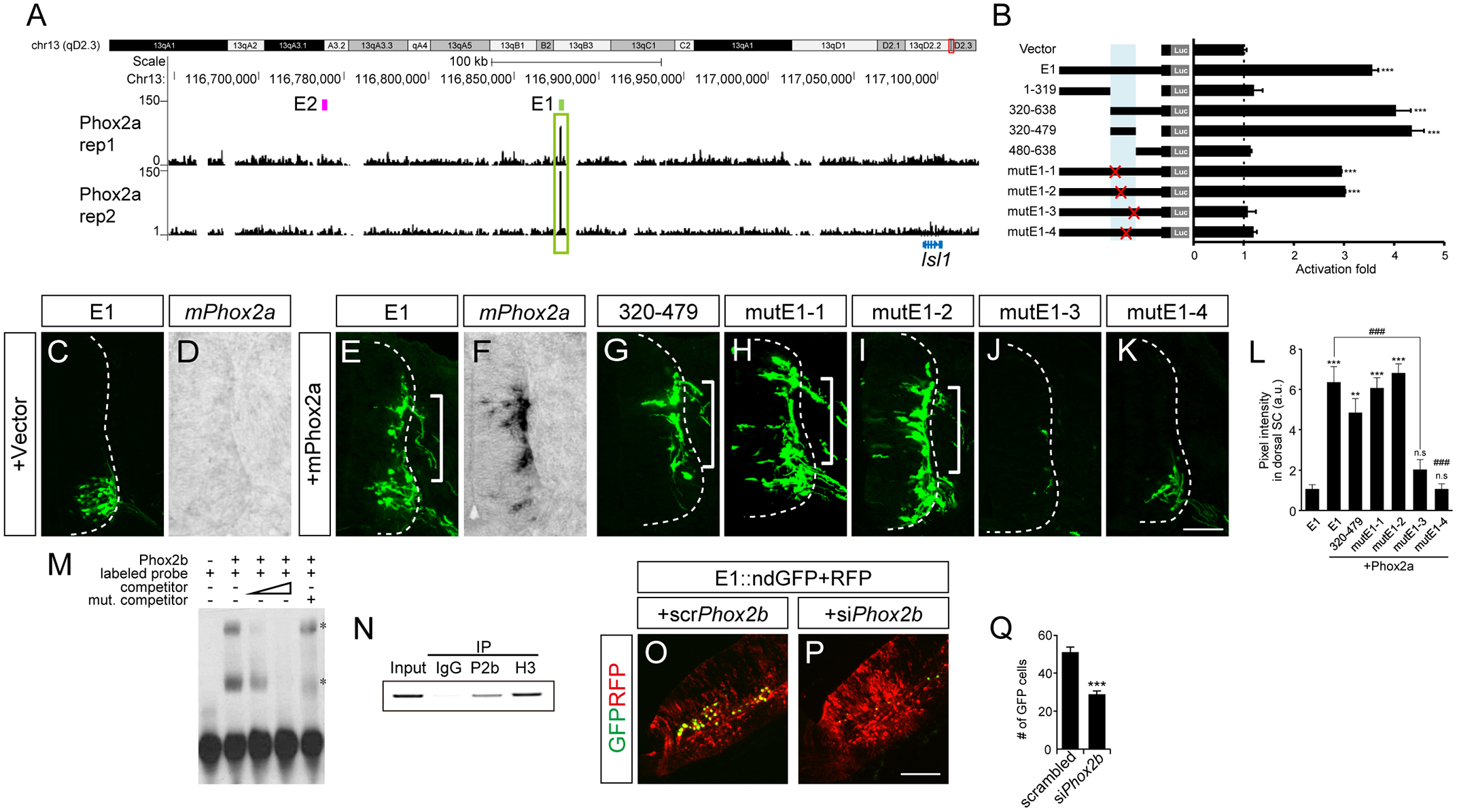 Phox2 regulates Isl1 expression via the E1 enhancer in bm/vm neurons.