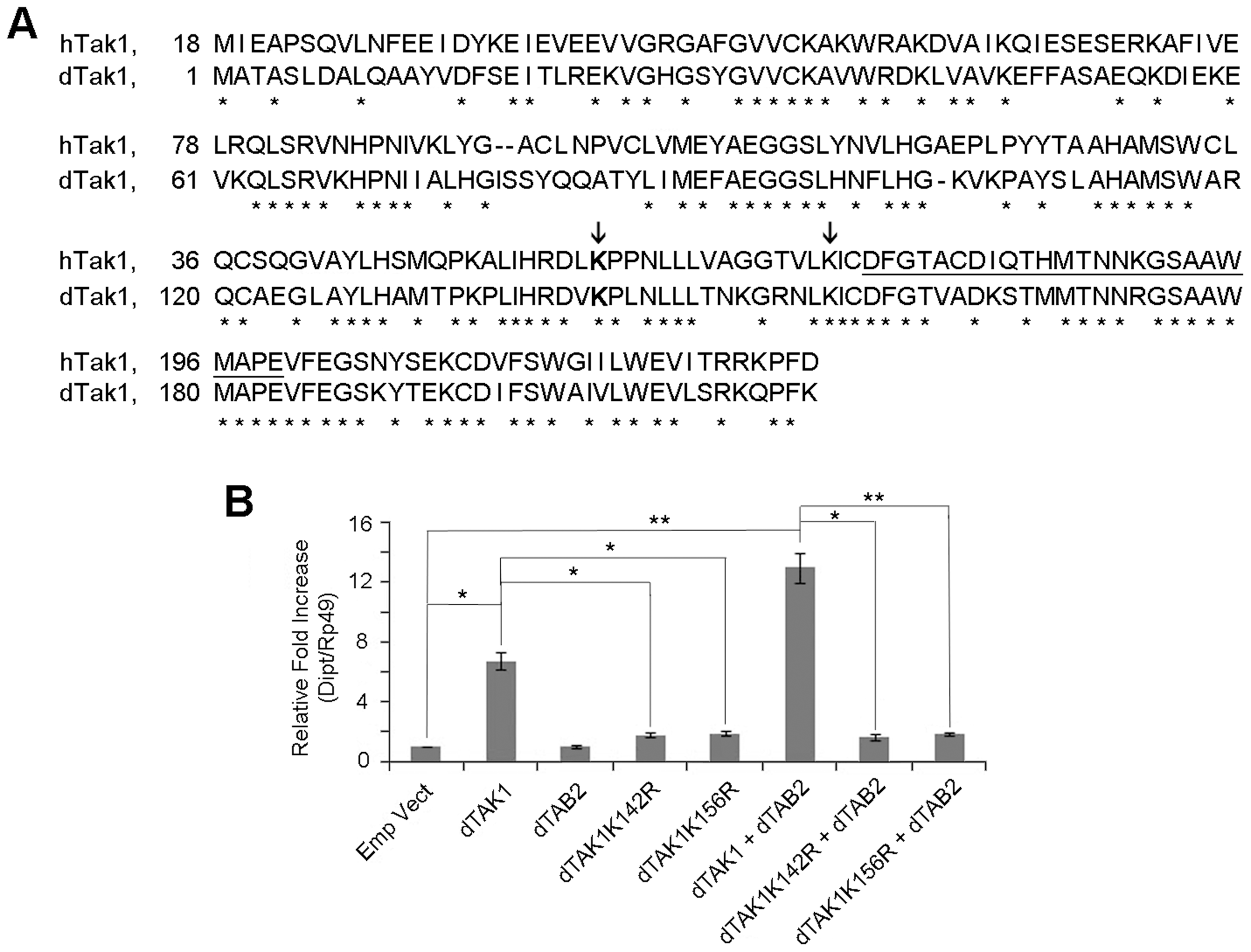 Lys 142 and Lys 156 of dTAK1 are essential for immune signalling.