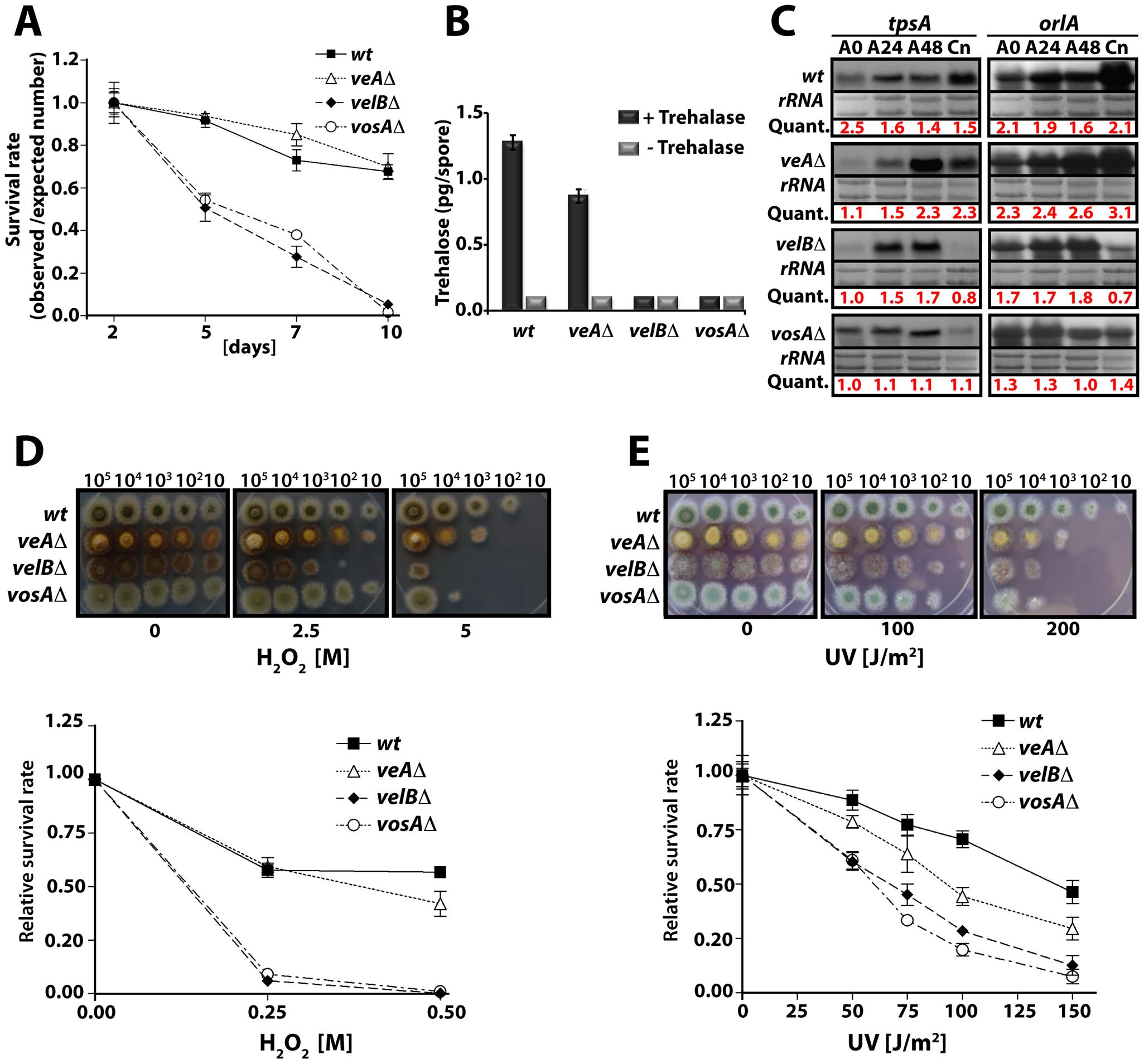 VelB function in spore viability and trehalose biogenesis.