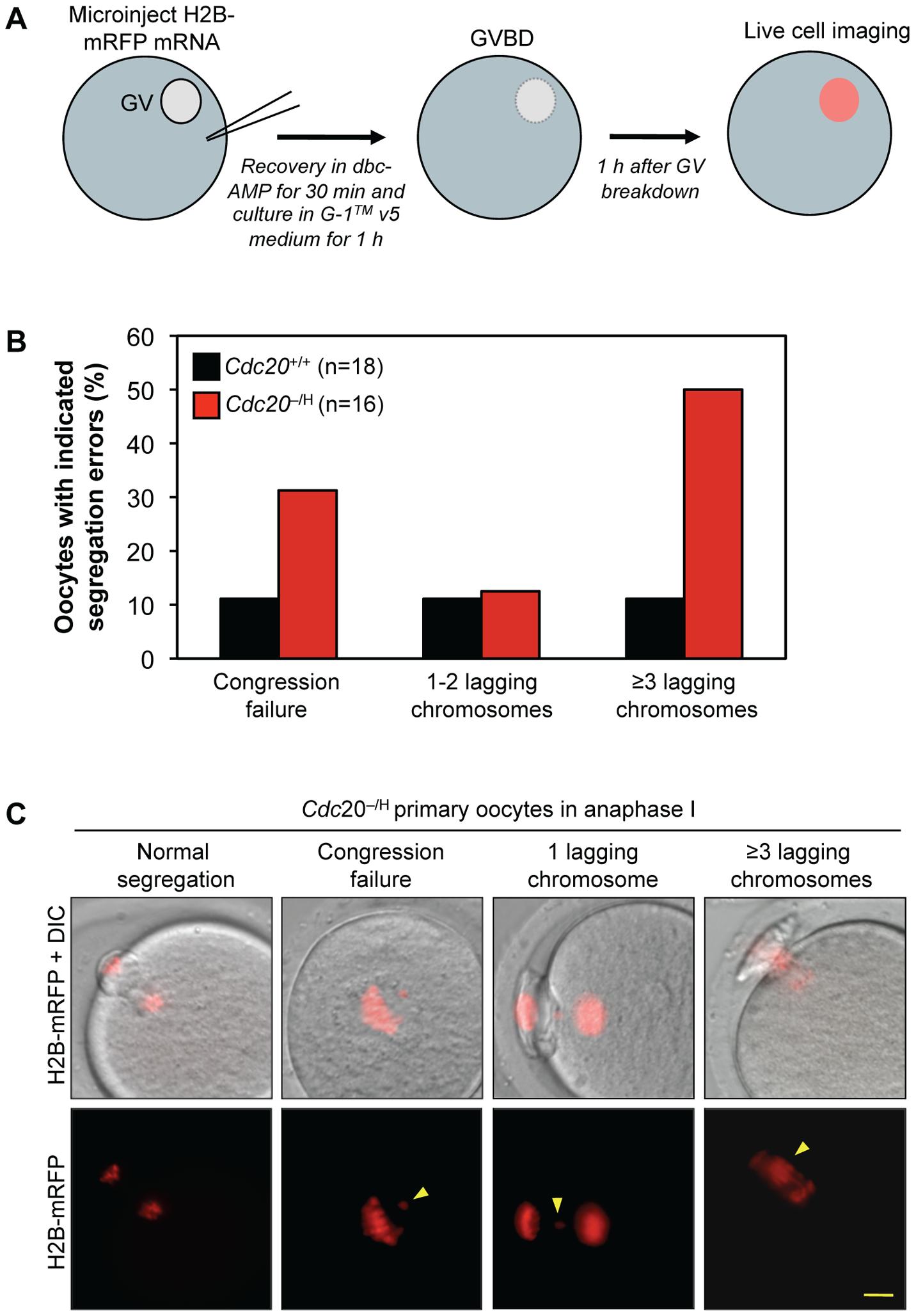 <i>Cdc20</i><sup>−/H</sup> oocytes show increased chromosome missegregation in meiosis I.