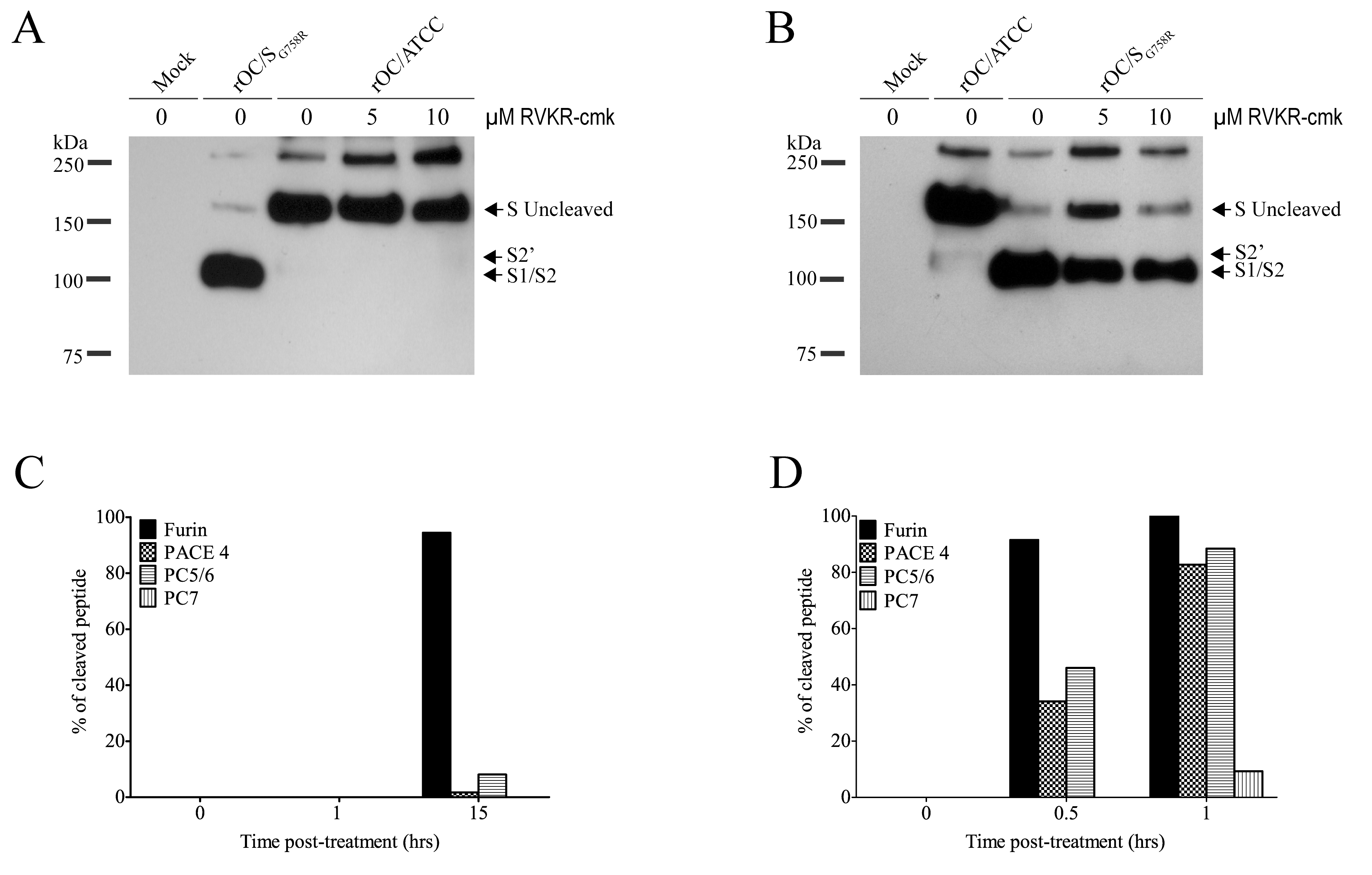 Proprotein convertase as a potential player in S glycoprotein cleavage.