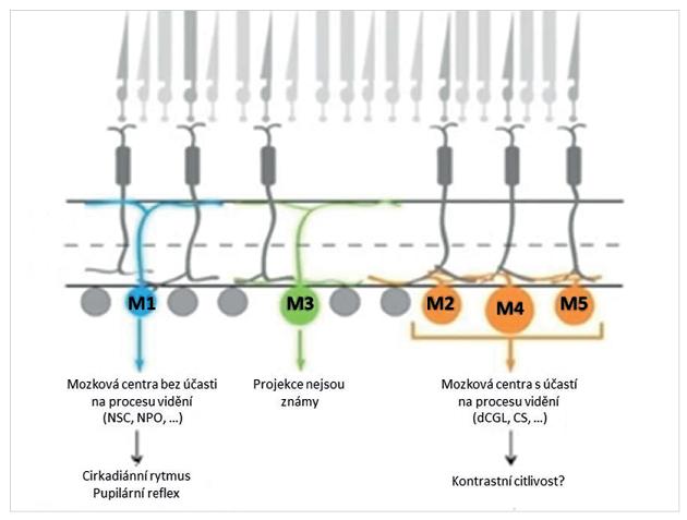 Podskupiny vnitřně fotosenzitivních retinálních gangliových buněk (M1 až M5) a jejich projekce k mozkovým strukturám, které pravděpodobně ovlivňují (NSC – nucleus suprachiasmaticus, NPO – nucleus pretectalis olivaris, dCGL – dorzální část corpus geniculatum laterale, CS – colliculus superior). (Modifikováno podle reference 20)