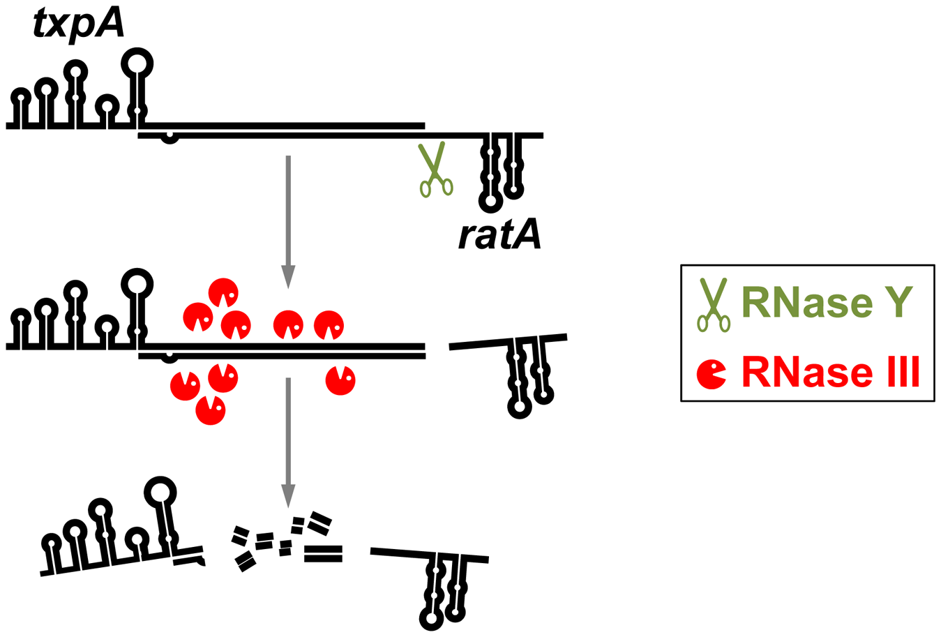 Degradation of a phage-encoded toxin mRNA in <i>B. subtilis</i>.