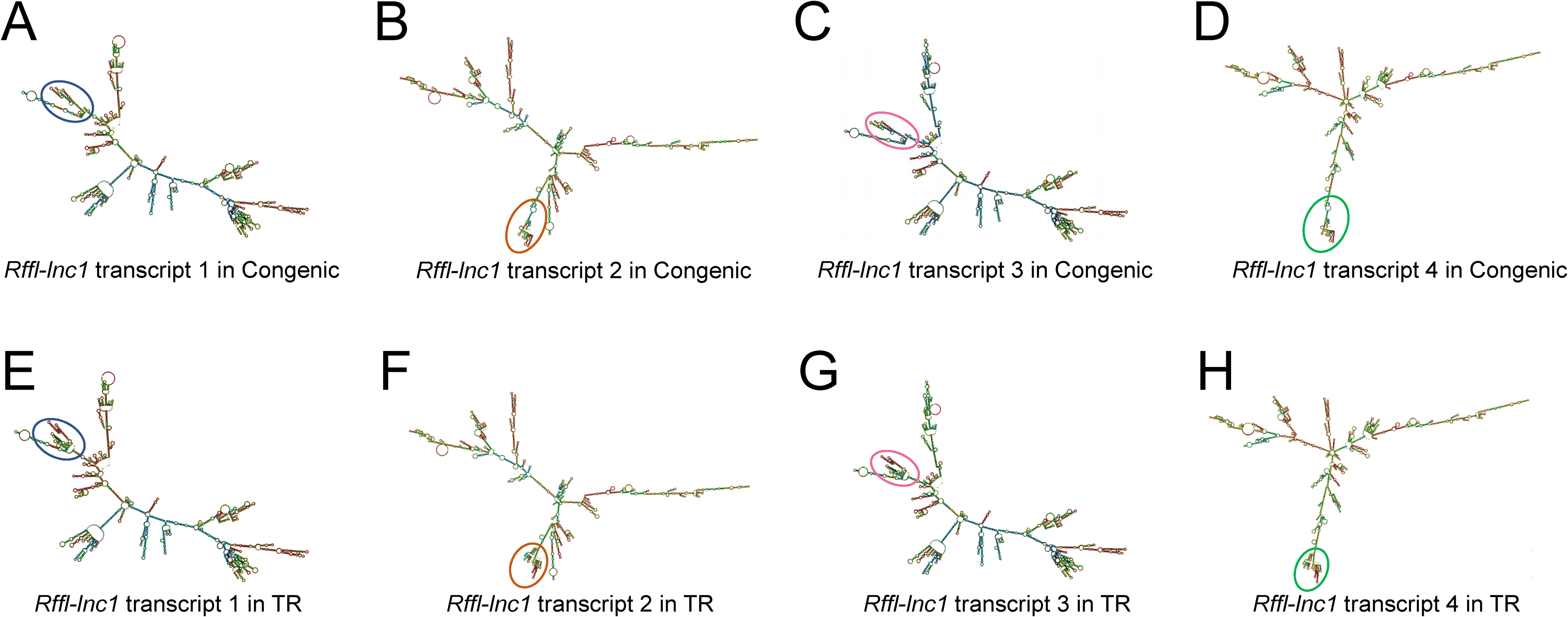 Bioinformatics prediction of <i>Rffl-lnc1</i> secondary structures in the S.LEW congenic rat and 19bp knock-in targeted rescue (TR) model.