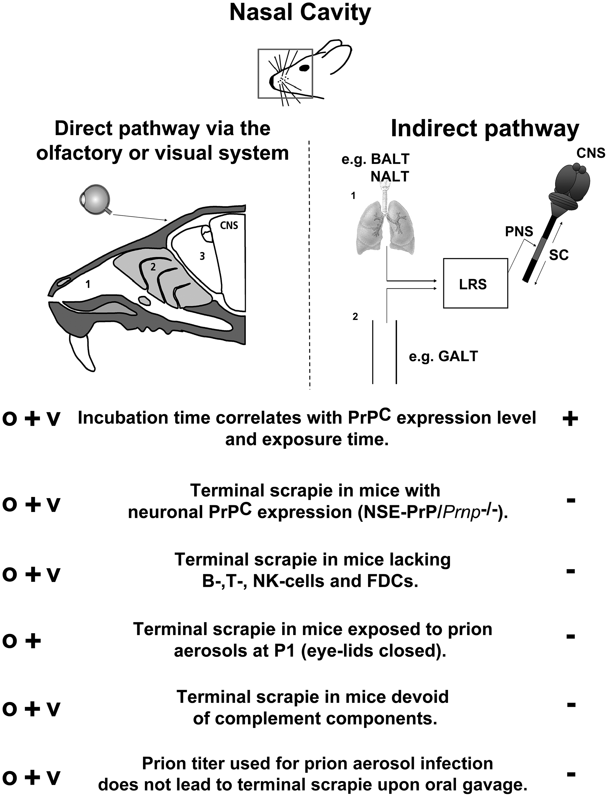 Model of the possible pathways of aerogenic prion transmission.