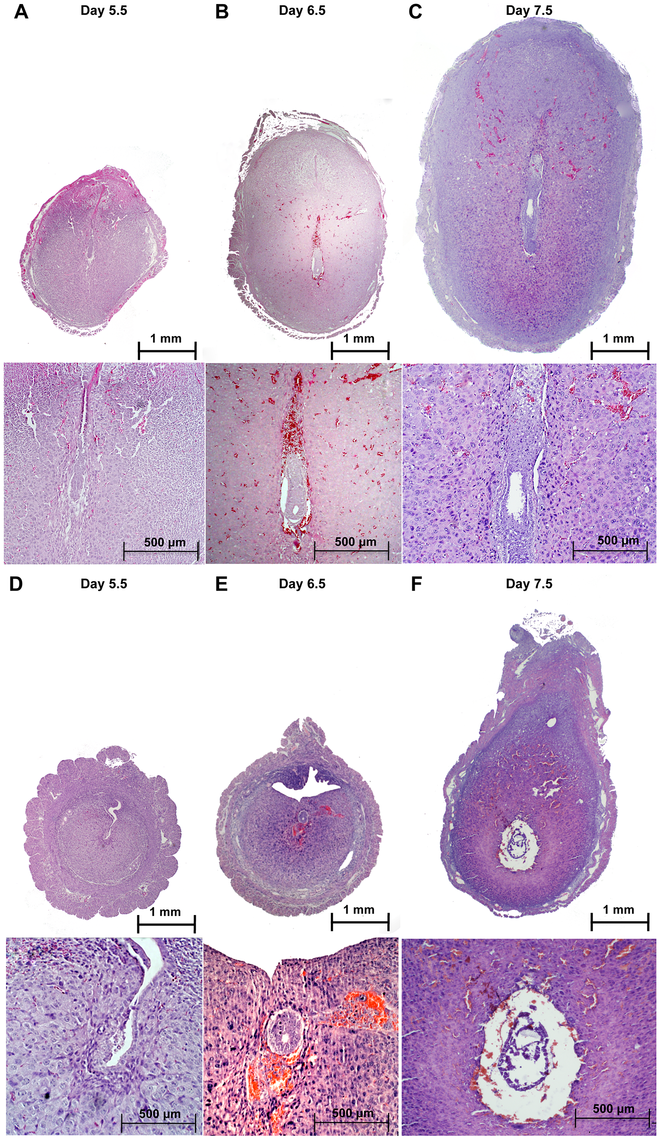 Defective implantation in <i>Alk2</i> cKO mice.