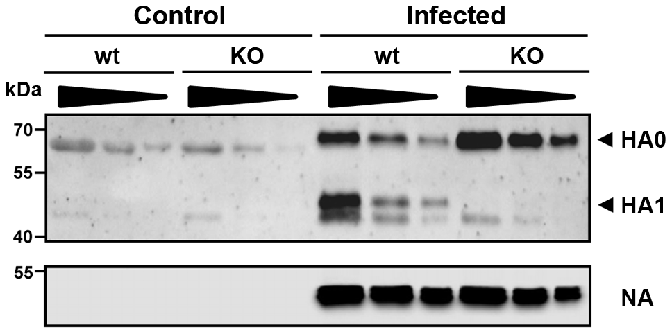 The hemagglutinin of H1N1 PR8M influenza virus is not processed in <i>Tmprss2</i> knock-out mice.