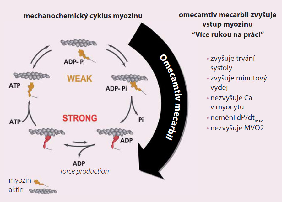 Omecamtiv mecarbil (OM) – nový srdeční aktivátor myozinu. Upraveno dle Malik F, Hartman JJ, Elias KA et al. Science 2011; 331: 1439–1443.
