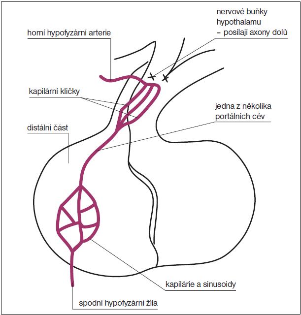Obr. Hypofyzární portální systém.