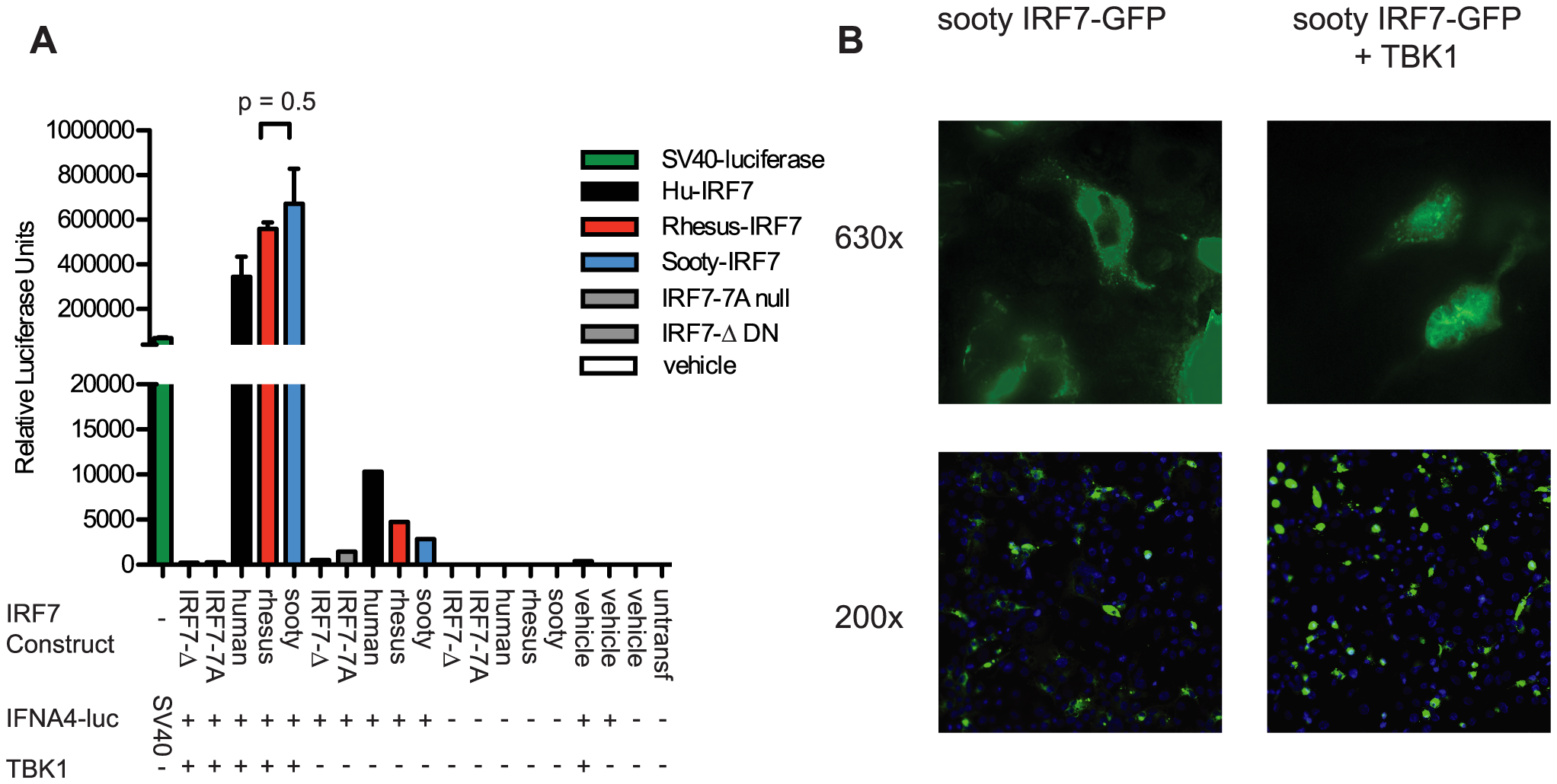Transactivation of IFNA4 promoter and nuclear localization by Sooty Mangabey IRF7.